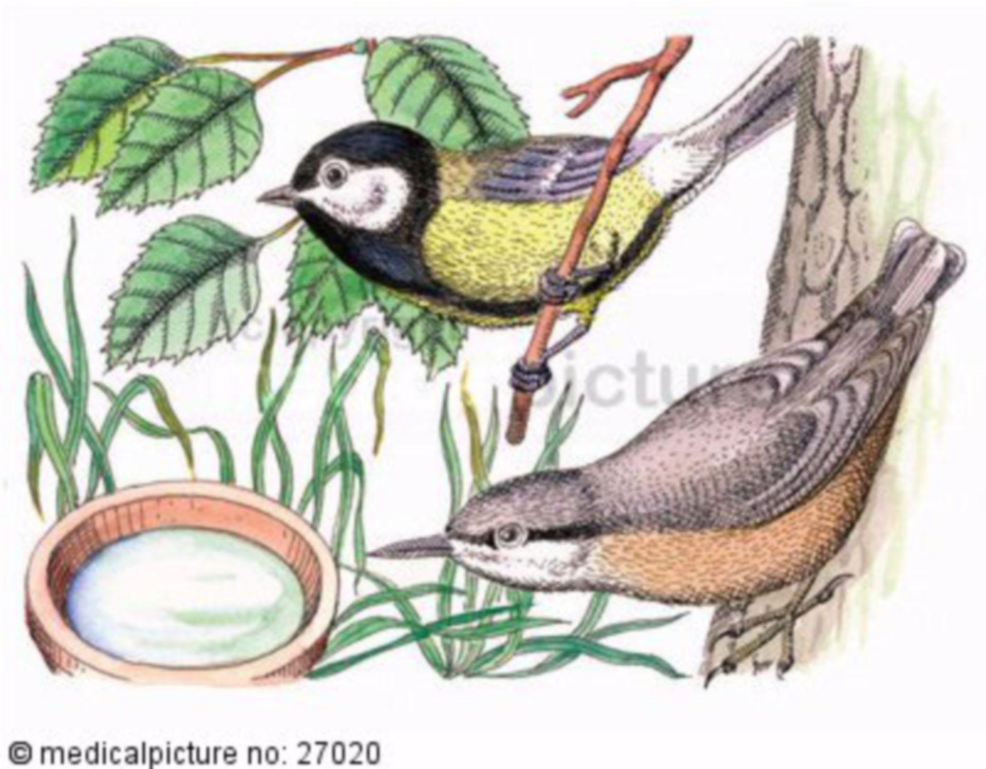Vogel, Meise und Kleiber