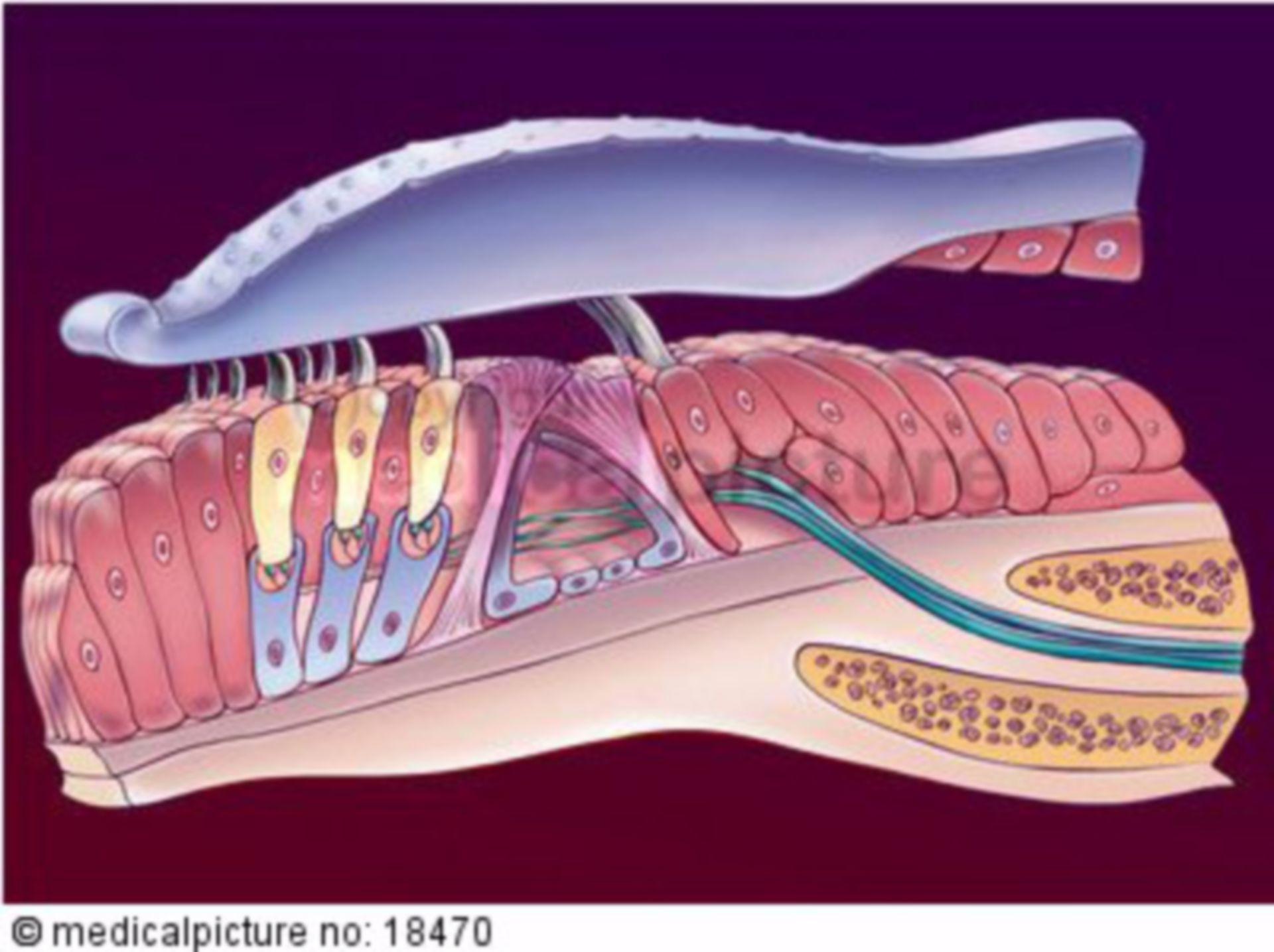 Organ of Corti, spiral organ, cochlea