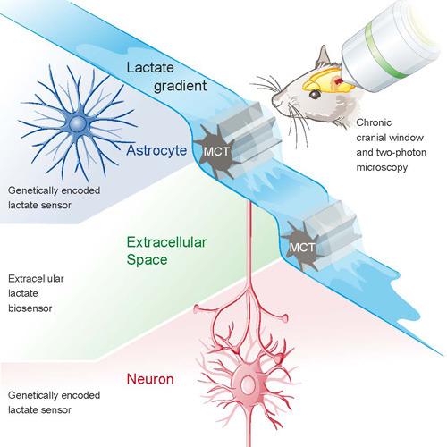 Grafik des Mechanismus. © UZH; Frank Brüderli