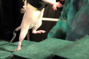 Querschnittsgelähmte Ratte kann durch Elektrostimulation wieder laufen