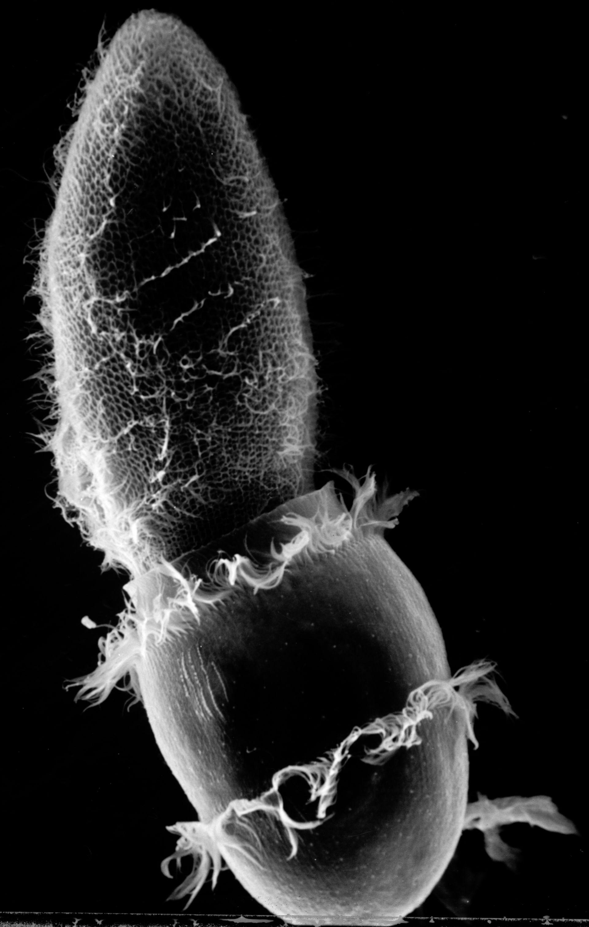 Paramecium sp. (Cell surface) - CIL:17891