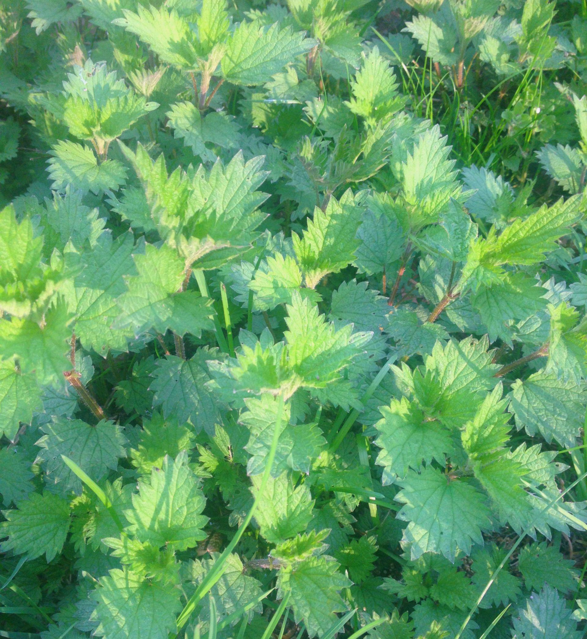 Scharfe Brennessel - junge Blätter