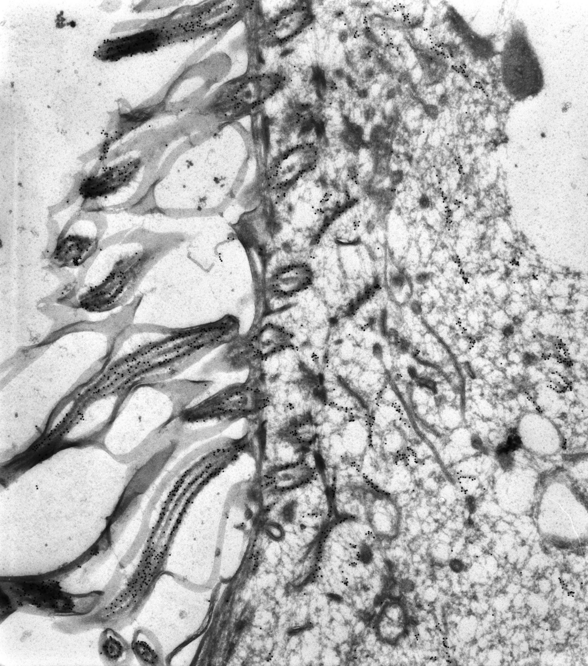 Paramecium tetraurelia (corpo basale del microtubulo) - CIL:38687