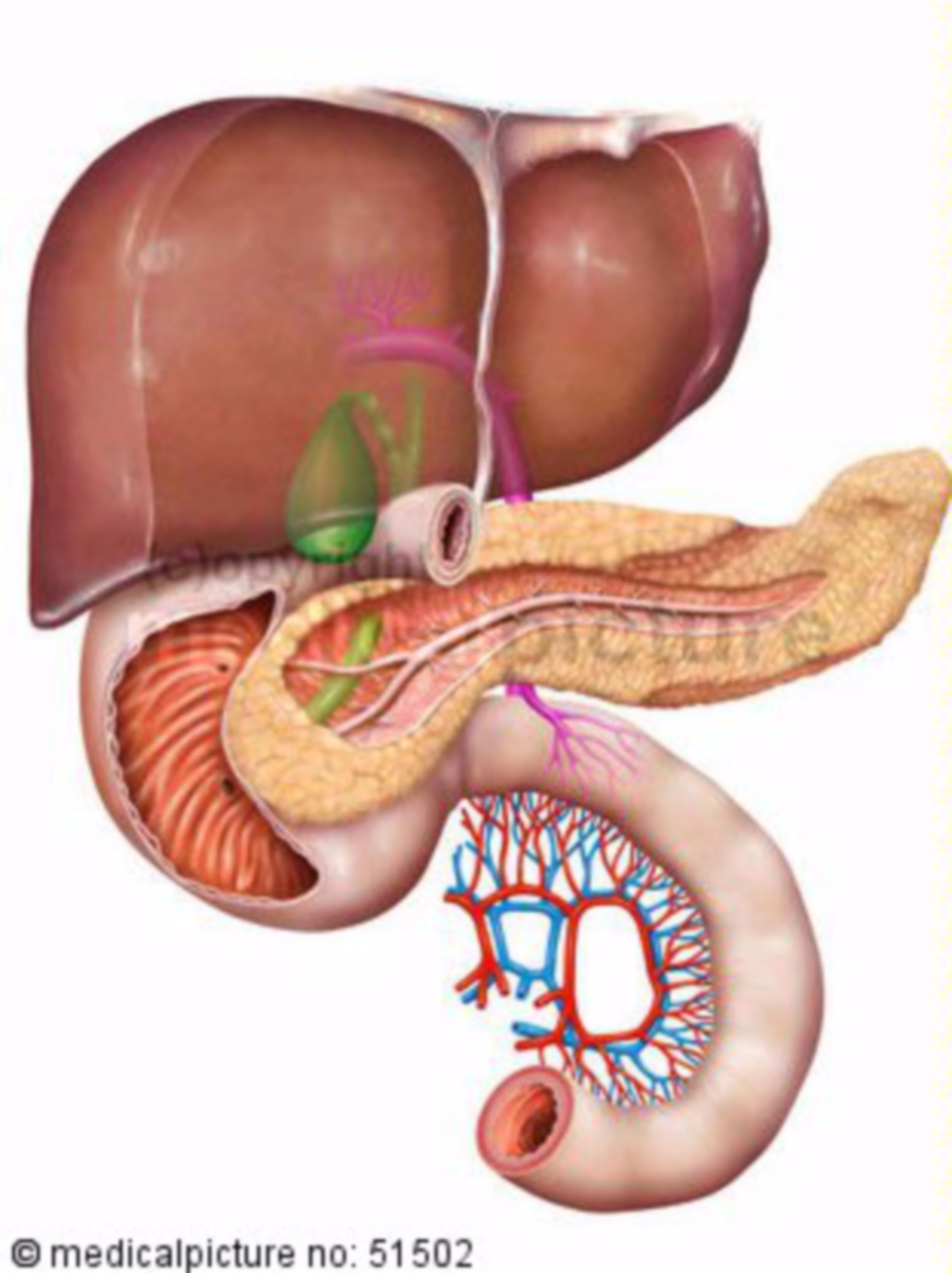 Fegato, pancreas e intestino tenue