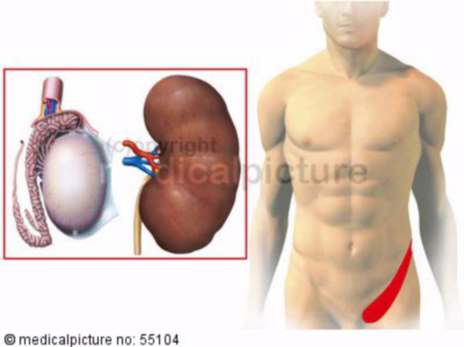Kidney and testis: zones of referred pain