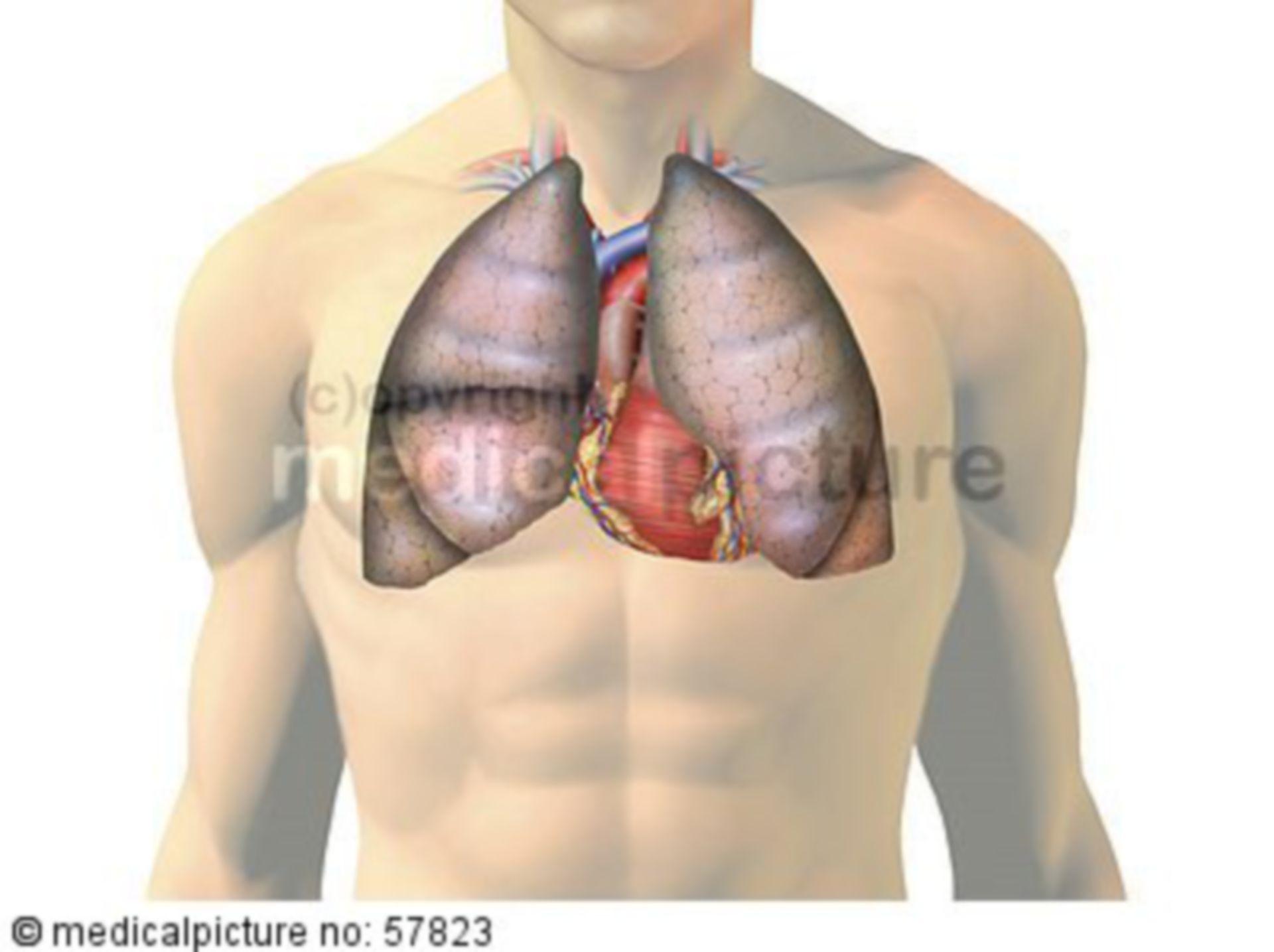 Anatomische Illustrationen - Lunge und Herz mit Gefäßen