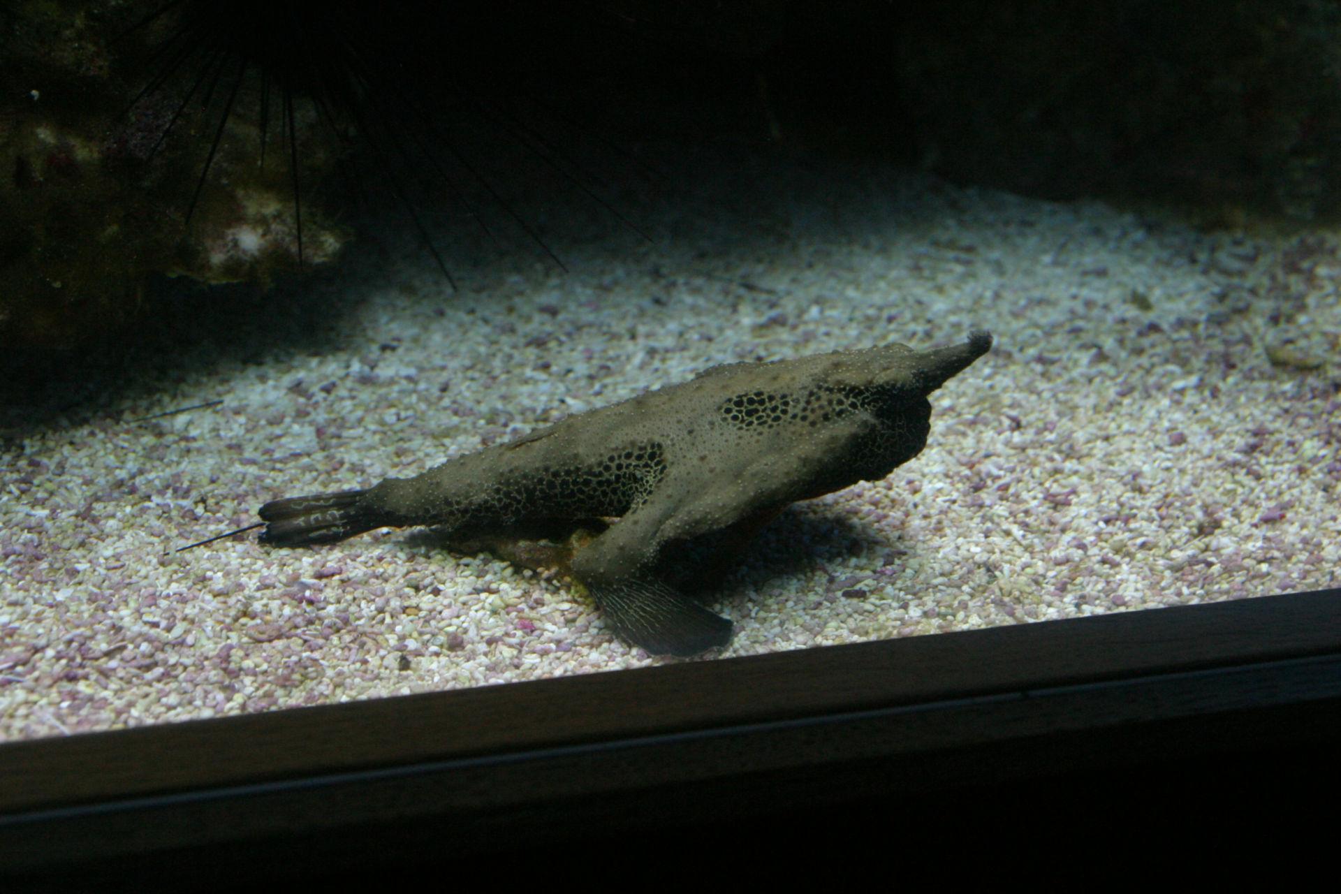 Ogcocephalidae (2)