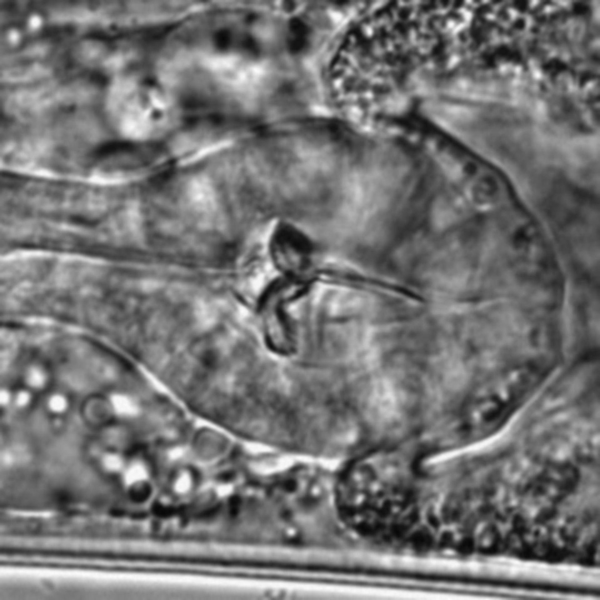Caenorhabditis elegans - CIL:1617