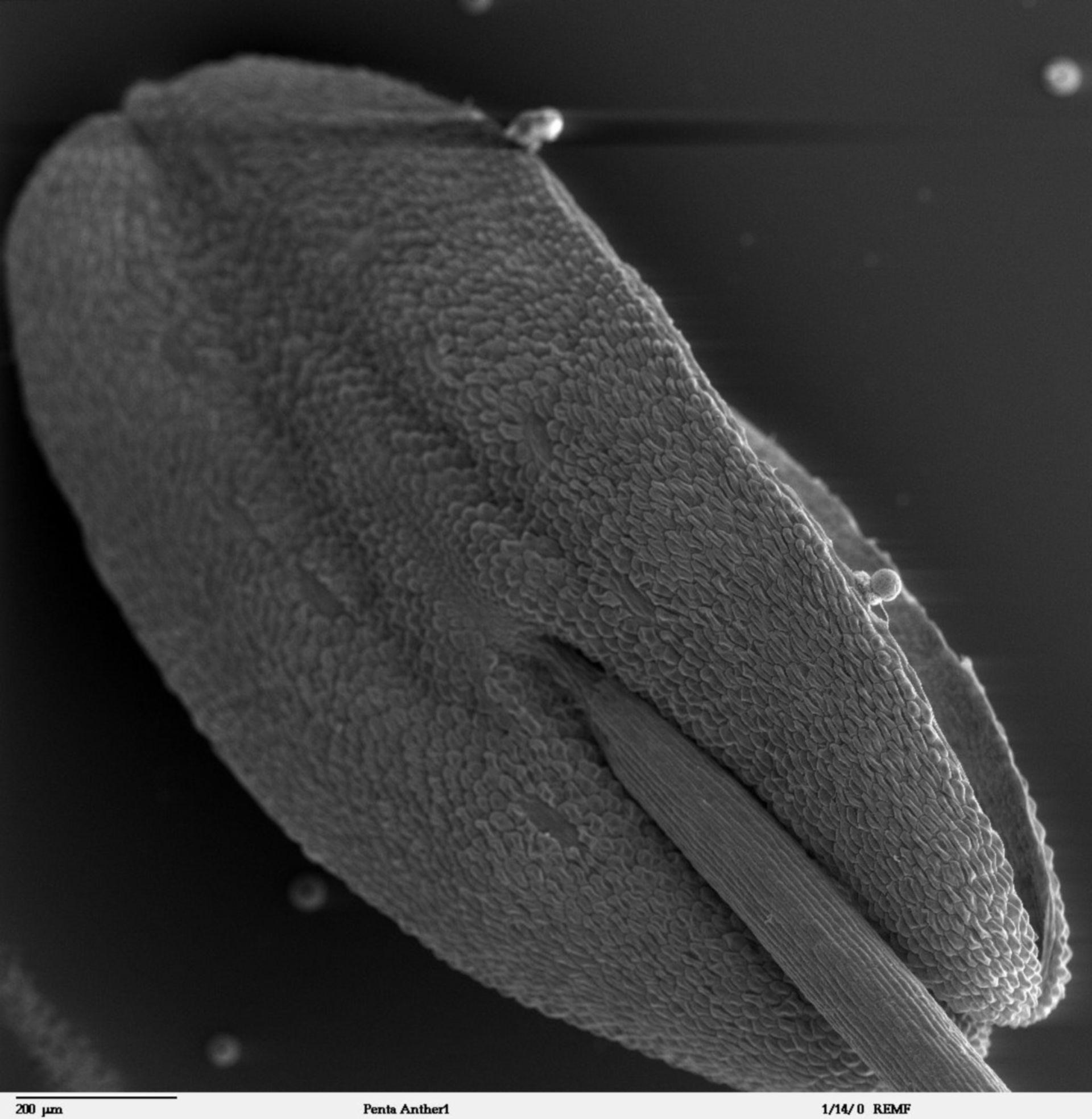 Pentas lanceolata (Cell surface) - CIL:41306