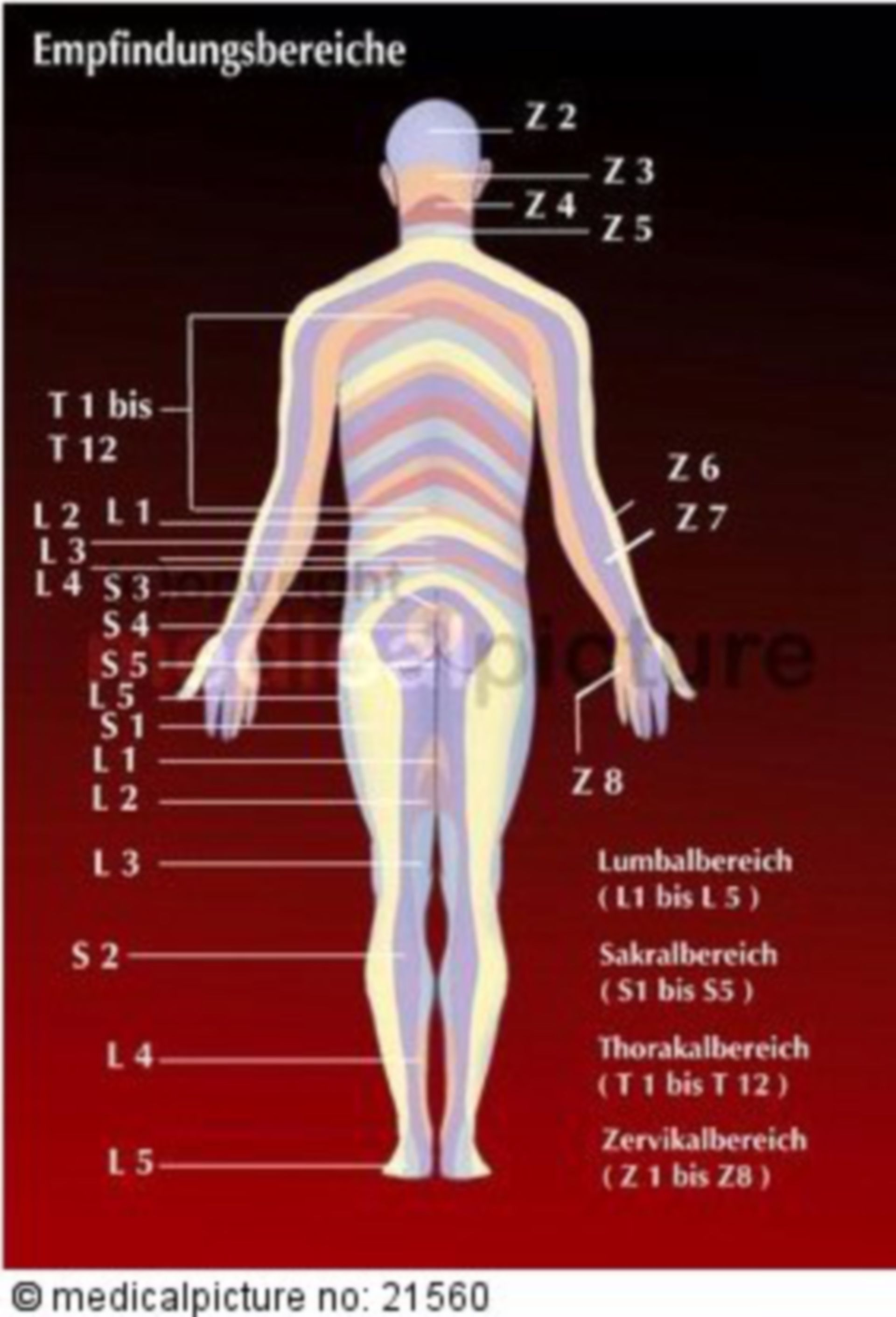 Dermatomes, sensory innervation areas of different spinal nerves