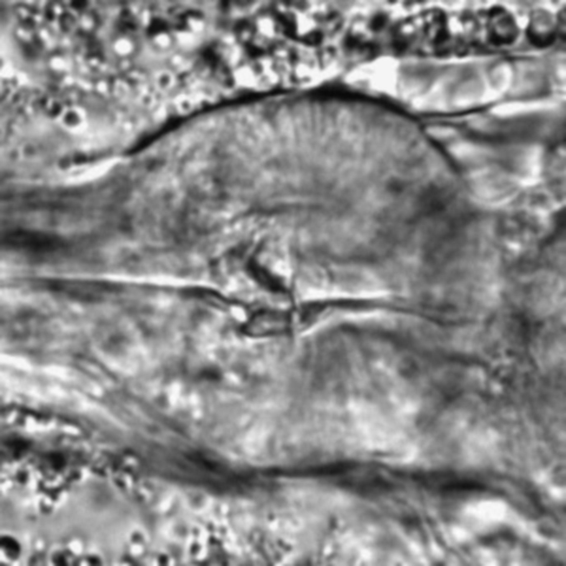 Caenorhabditis elegans - CIL:1784