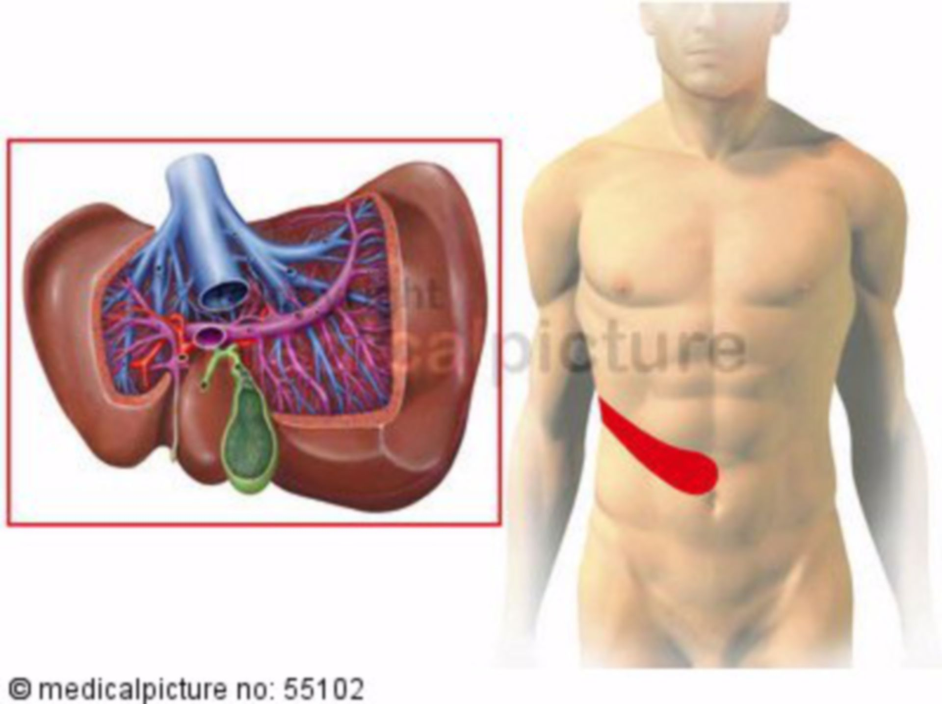 Liver and gall bladder: zones of referred pain