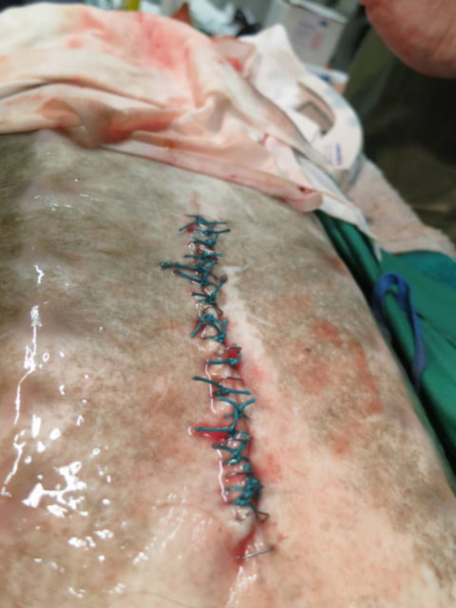 Forgein body removal surgery in a sturgeon (15)