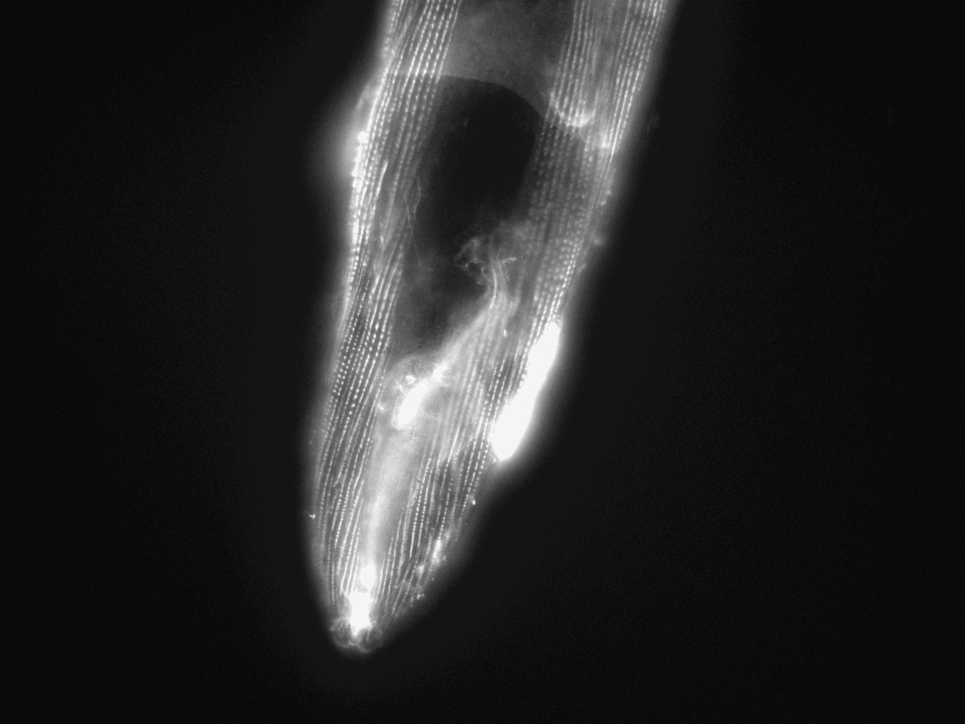 Caenorhabditis elegans (filamento di actina) - CIL:1186