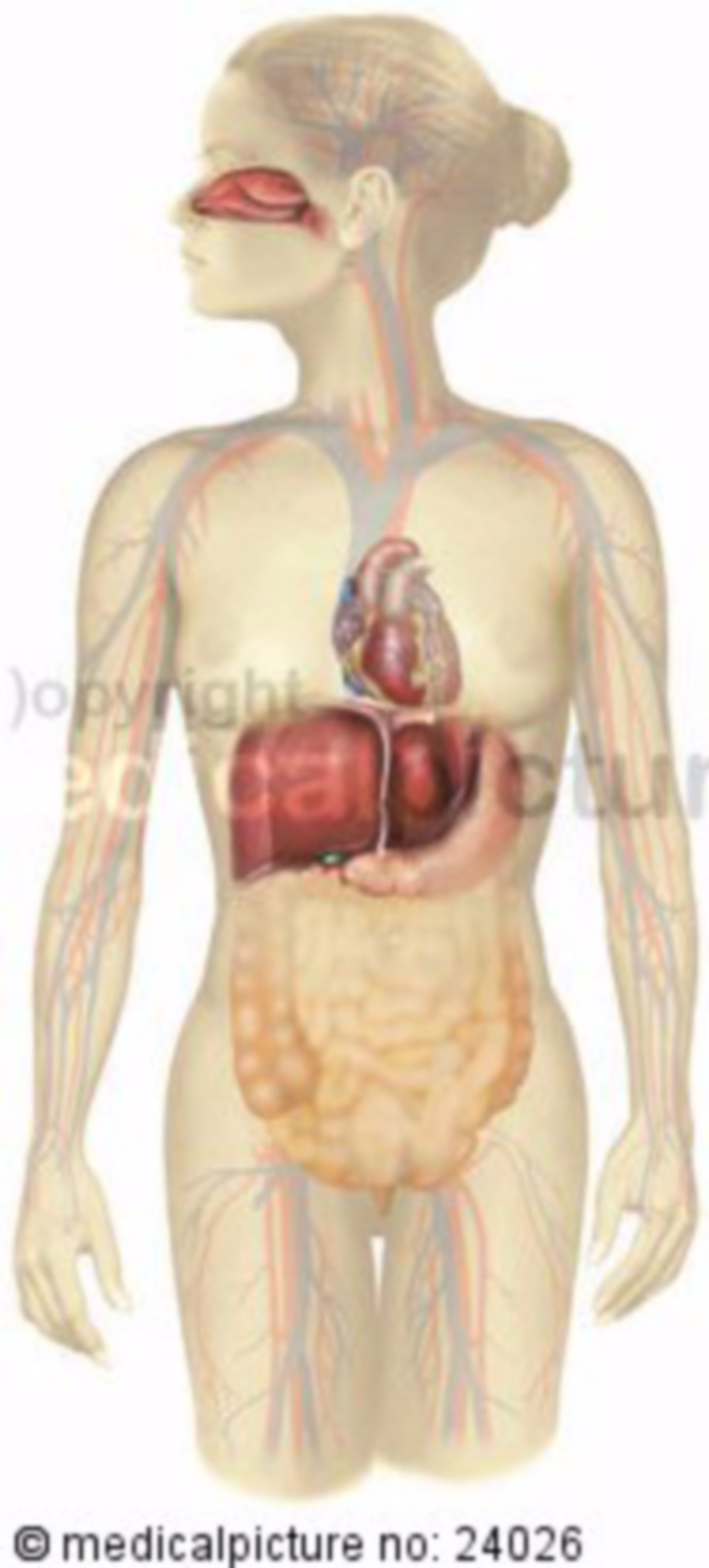 Organs and their placement in the body
