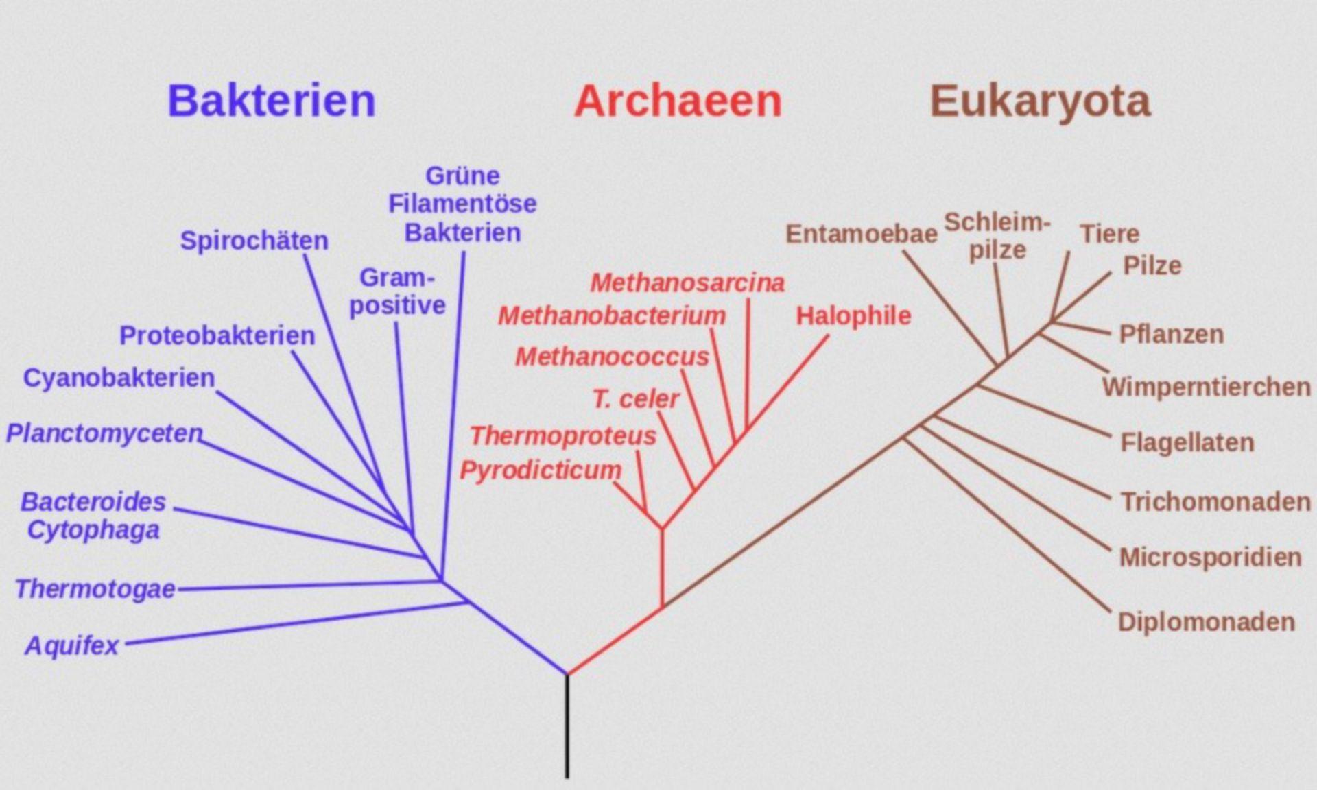 Phylogenetischer Stammbaum nach Woese