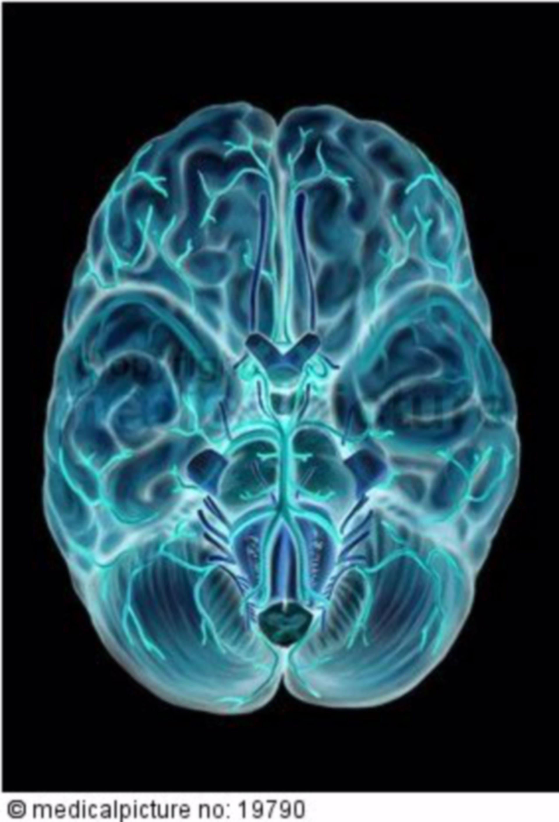 Gehirn, von unten