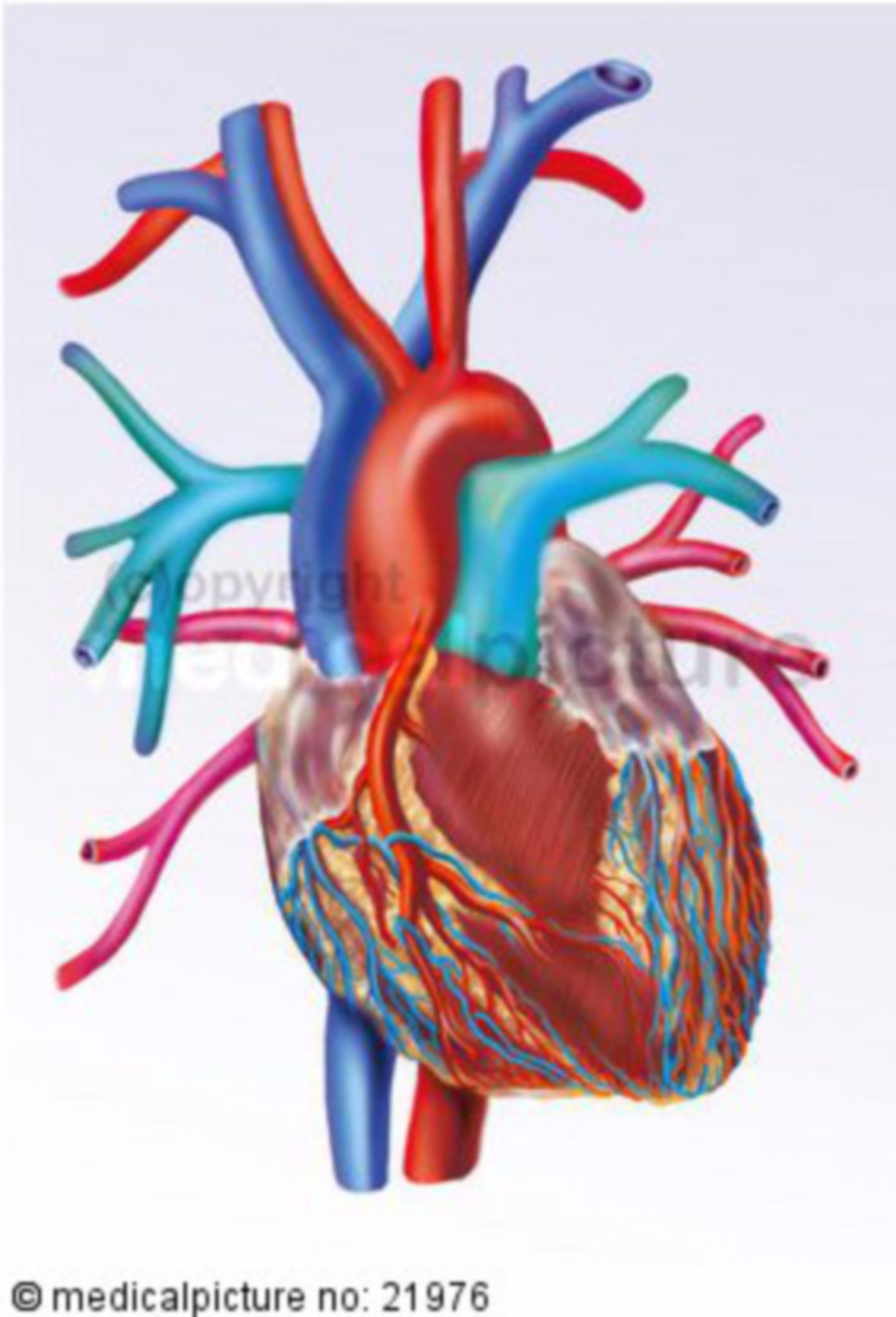 Heart with inflow, ejection, and coronary vessels
