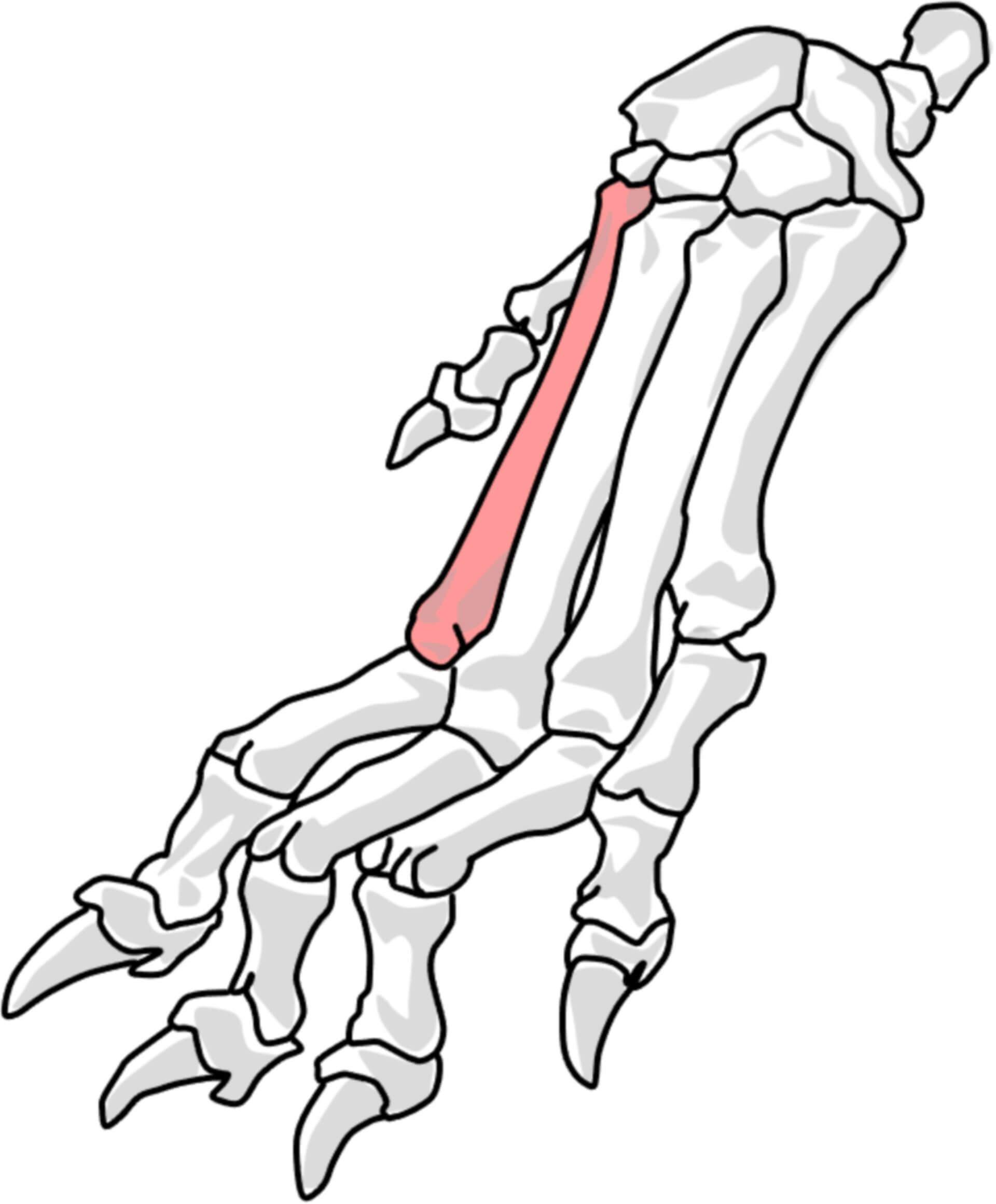 2. Metakarpalknochen beim Hund (© Patrick Messner)