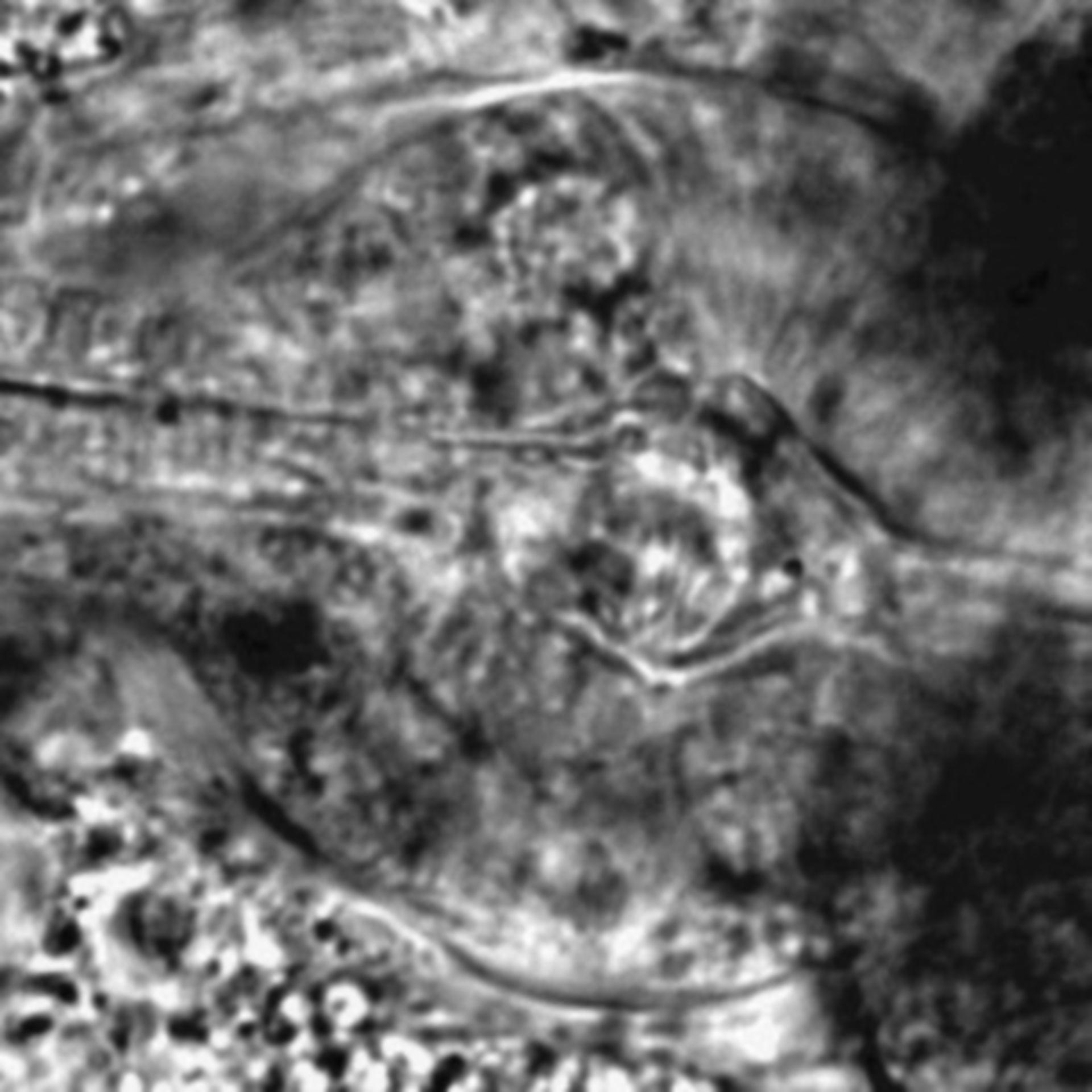 Caenorhabditis elegans - CIL:2590