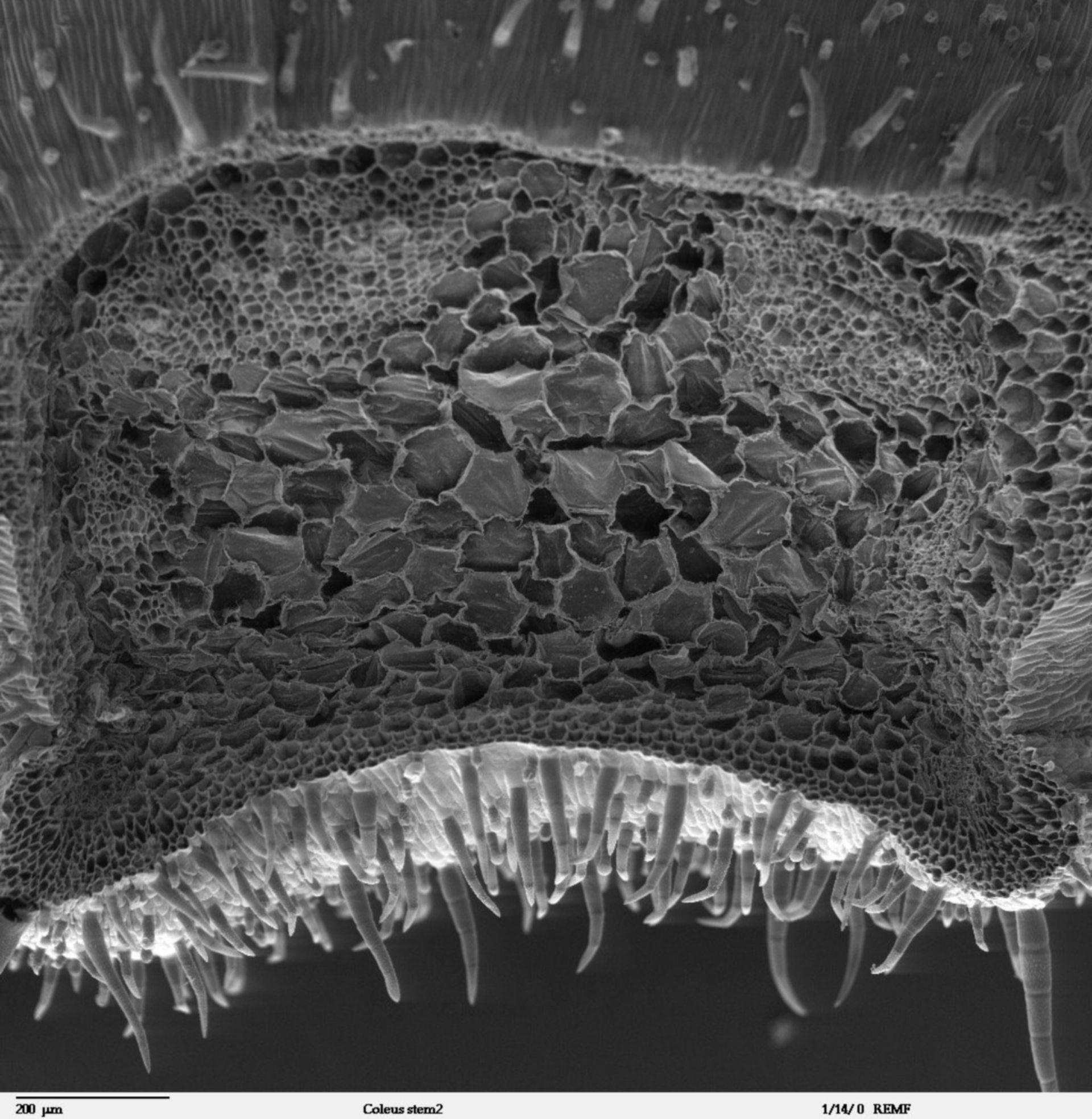 Solenostemon scutellarioides (Cortex) - CIL:40378
