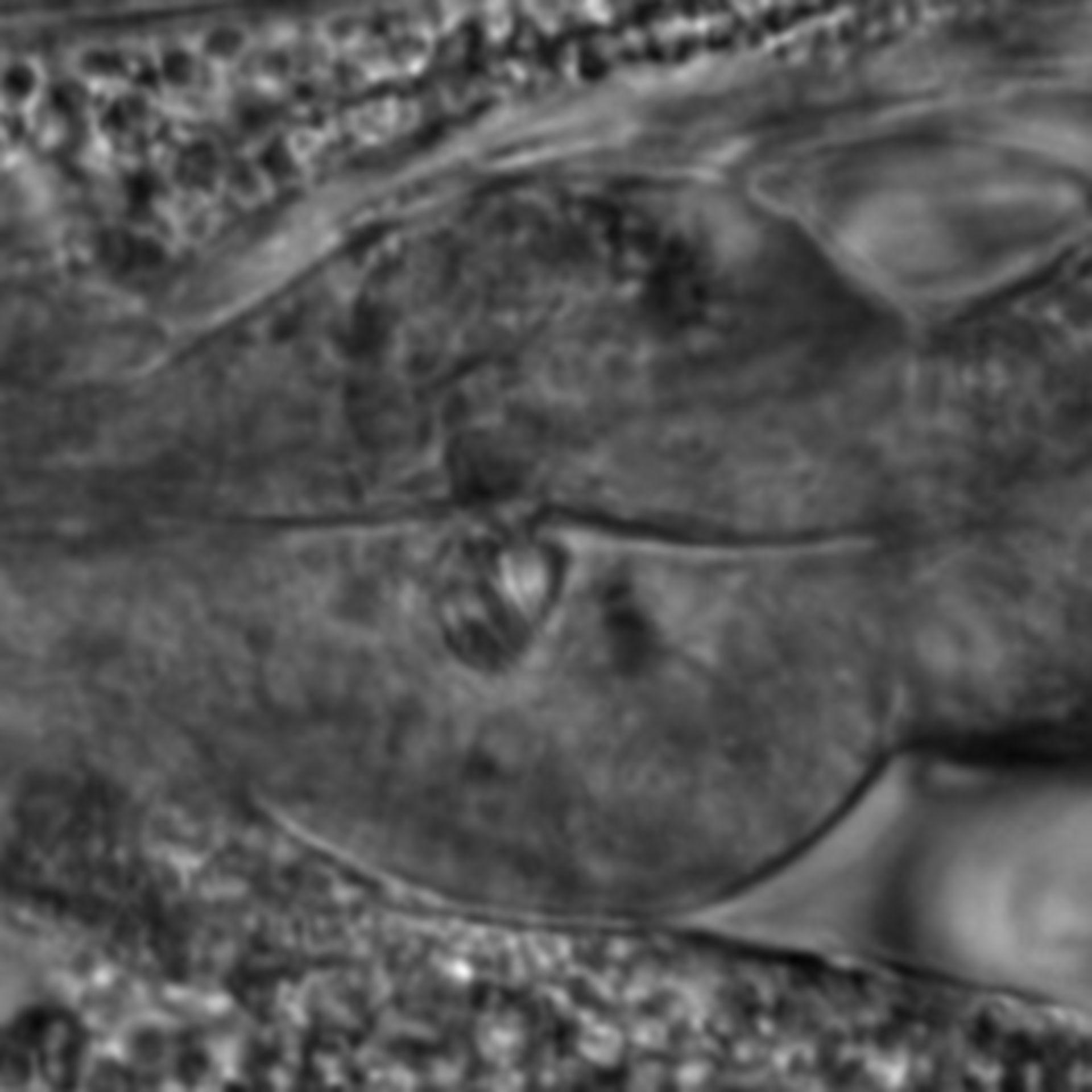 Caenorhabditis elegans - CIL:1932