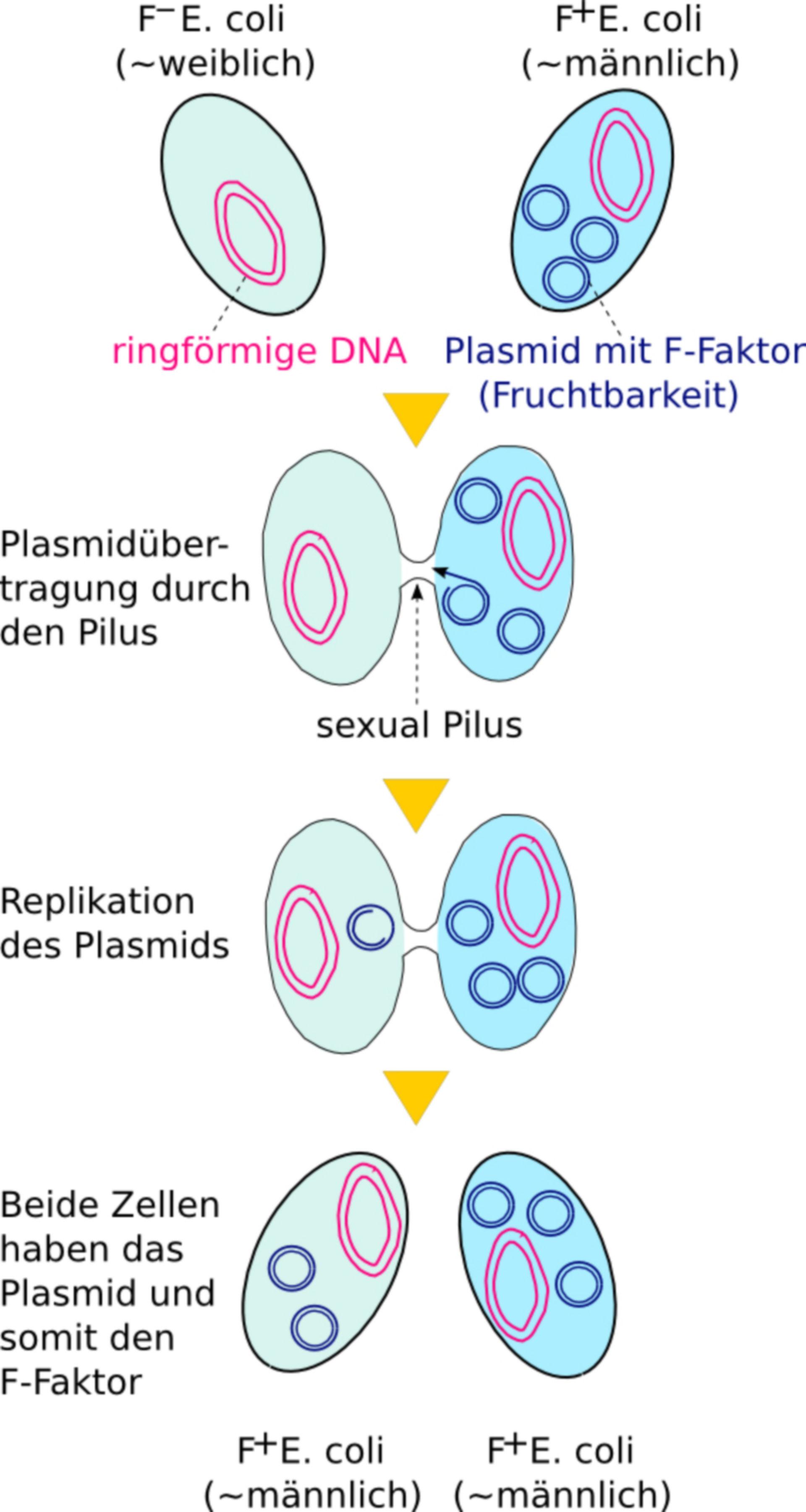 Konjugation bei Escherichia coli