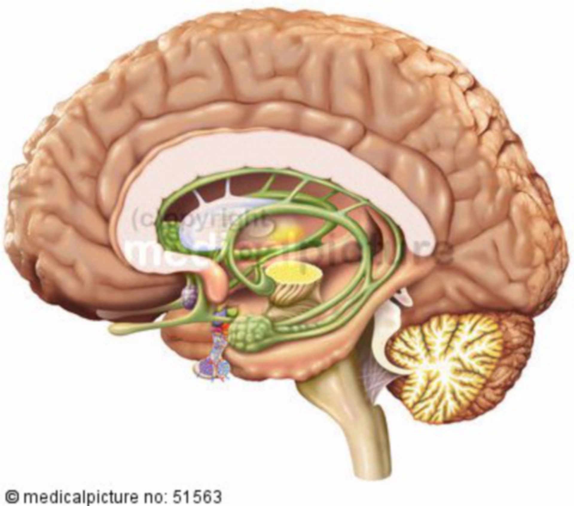 Emisfero sinistro del cervello