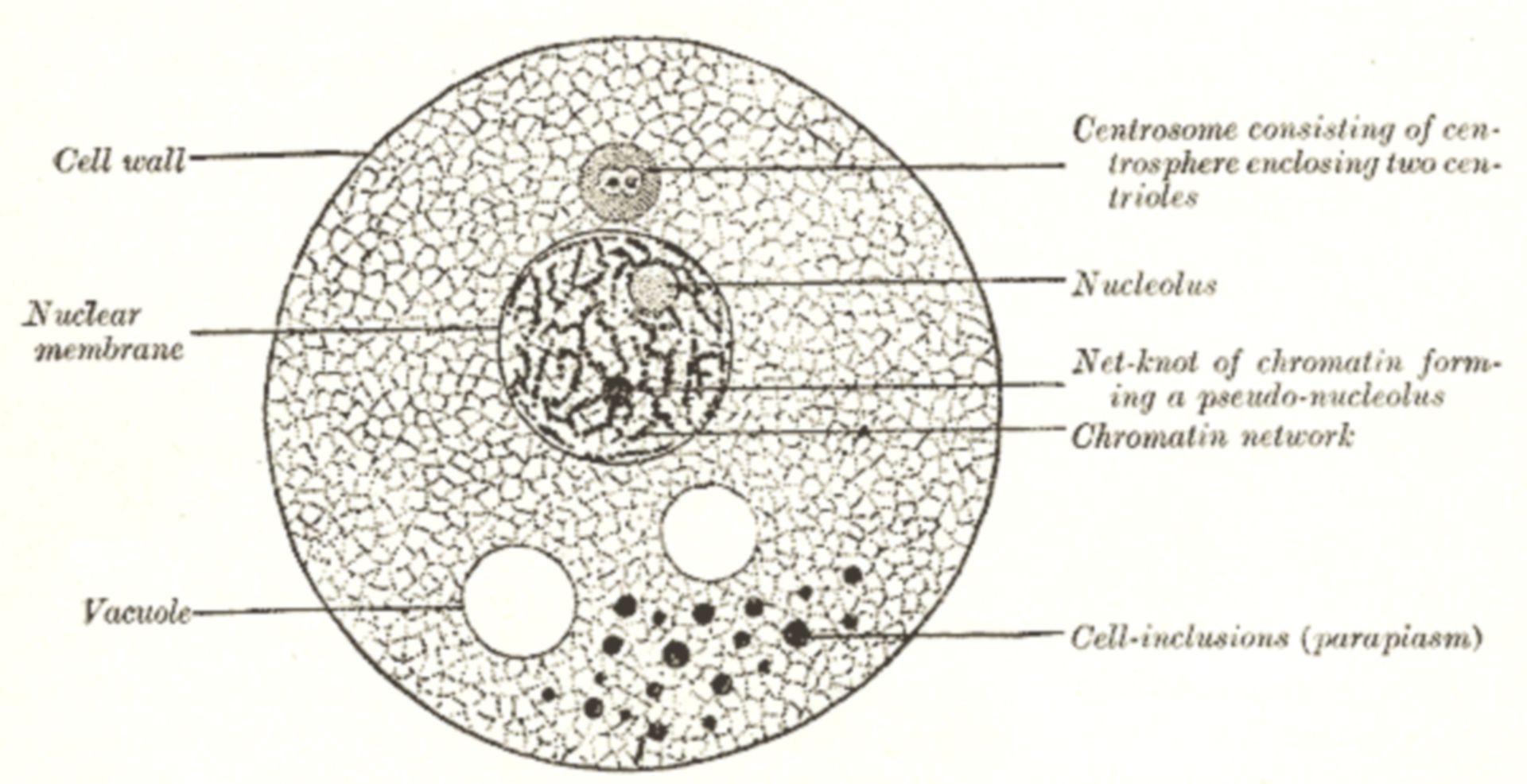 Fig. 001 - pflanzliche Zelle