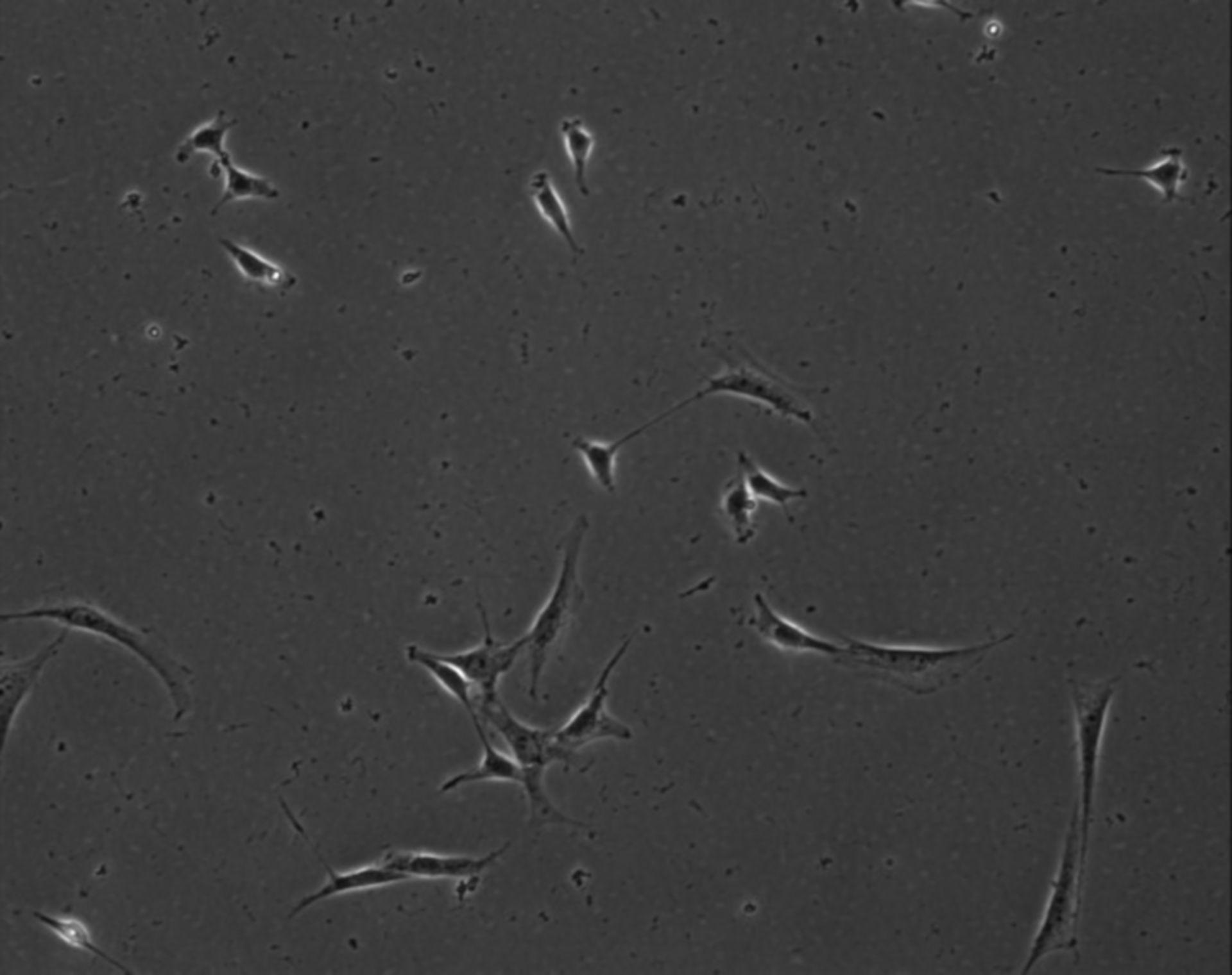 Mus musculus (Extracellular matrix part) - CIL:8838