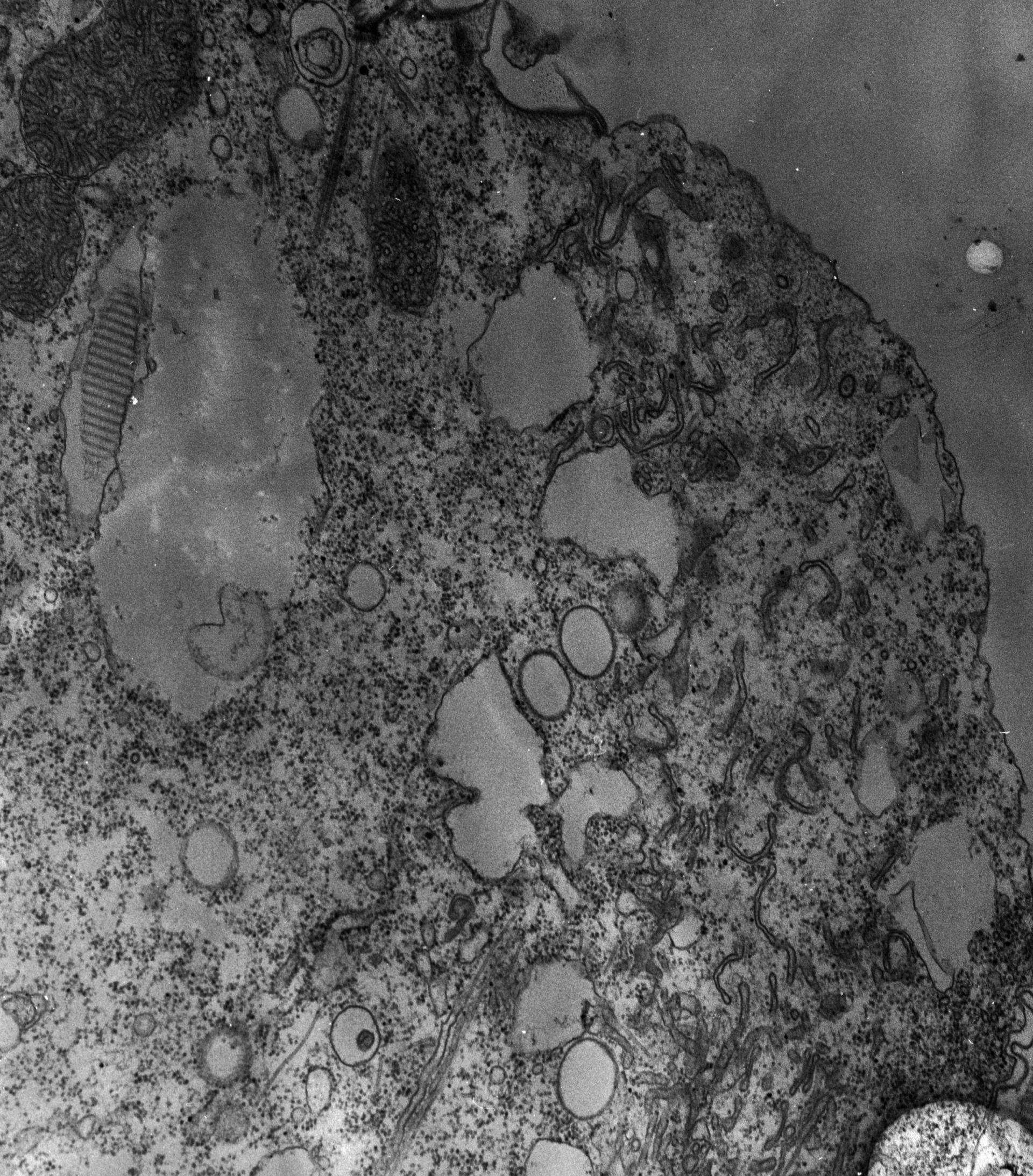 Paramecium multimicronucleatum (microtubuli) - CIL:12604