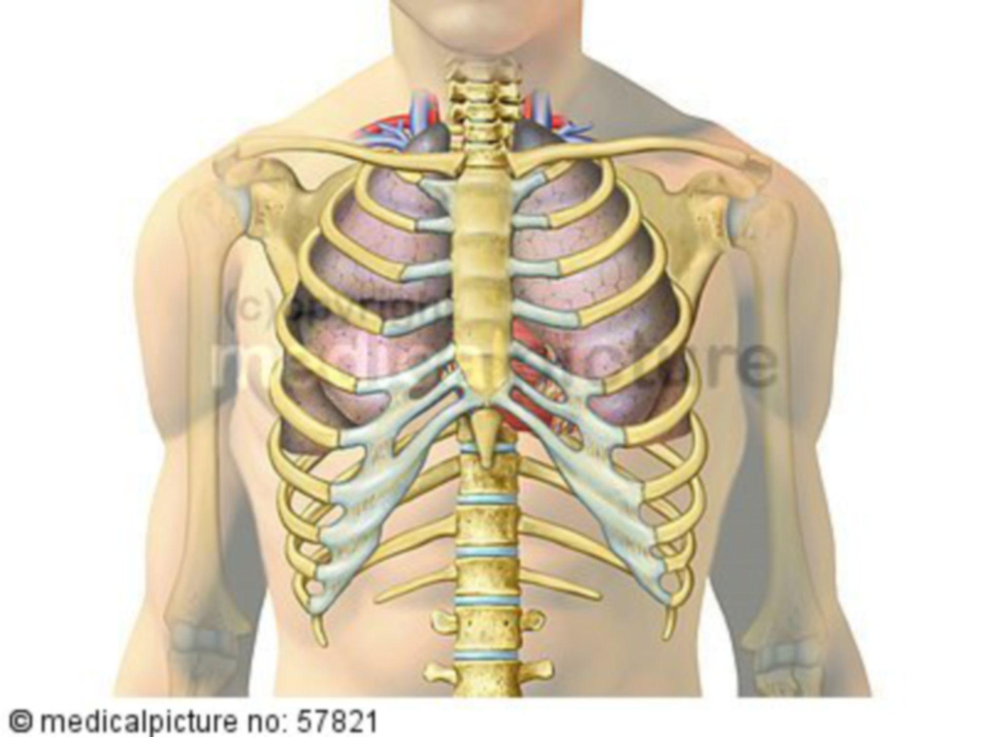 Anatomische Illustrationen - Lunge und Herz mit Gefäßen in Brustkorb