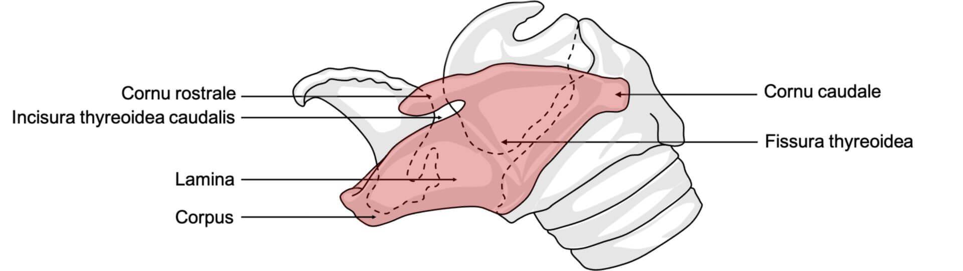 Cartilago thyreoidea beim Pferd (© Patrick Messner)