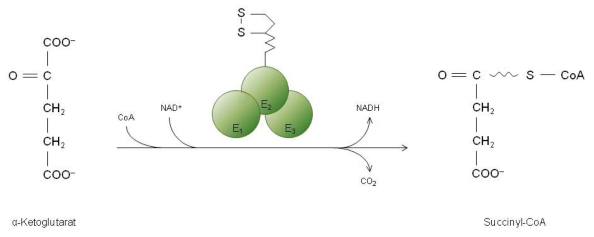 Decarboxilación de alfa-quétoglutarato