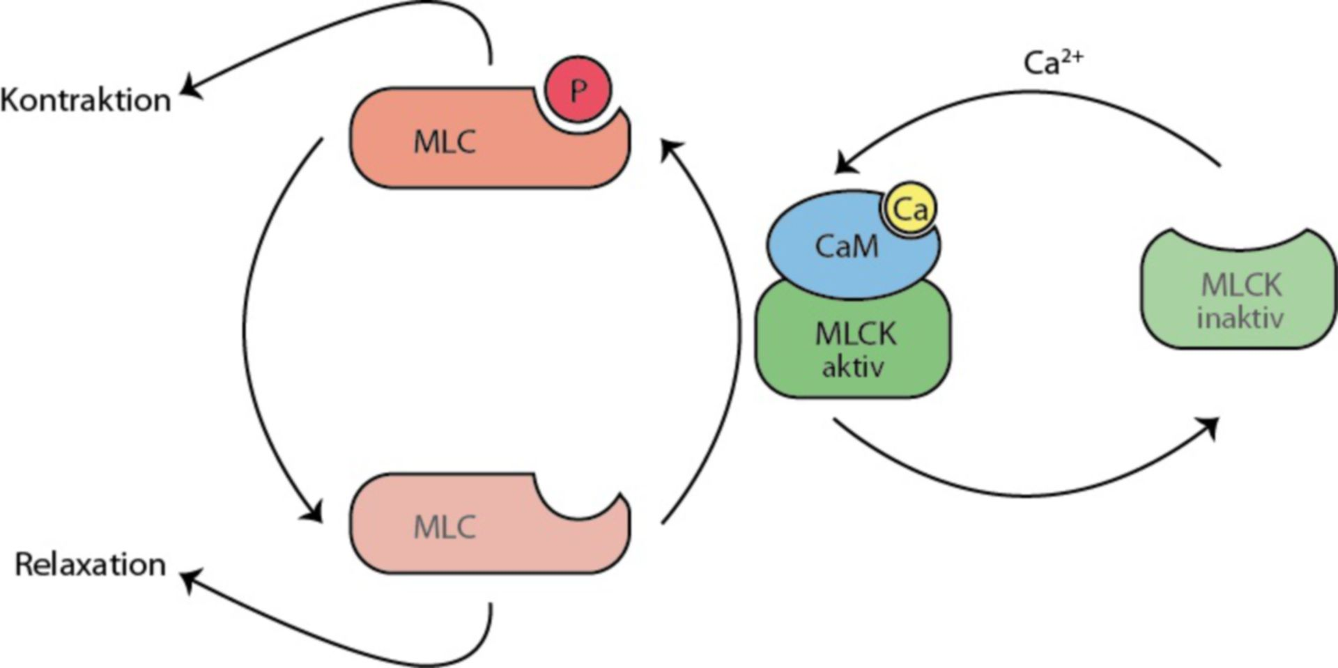 Muscolatura liscia (MLC, MLCK)