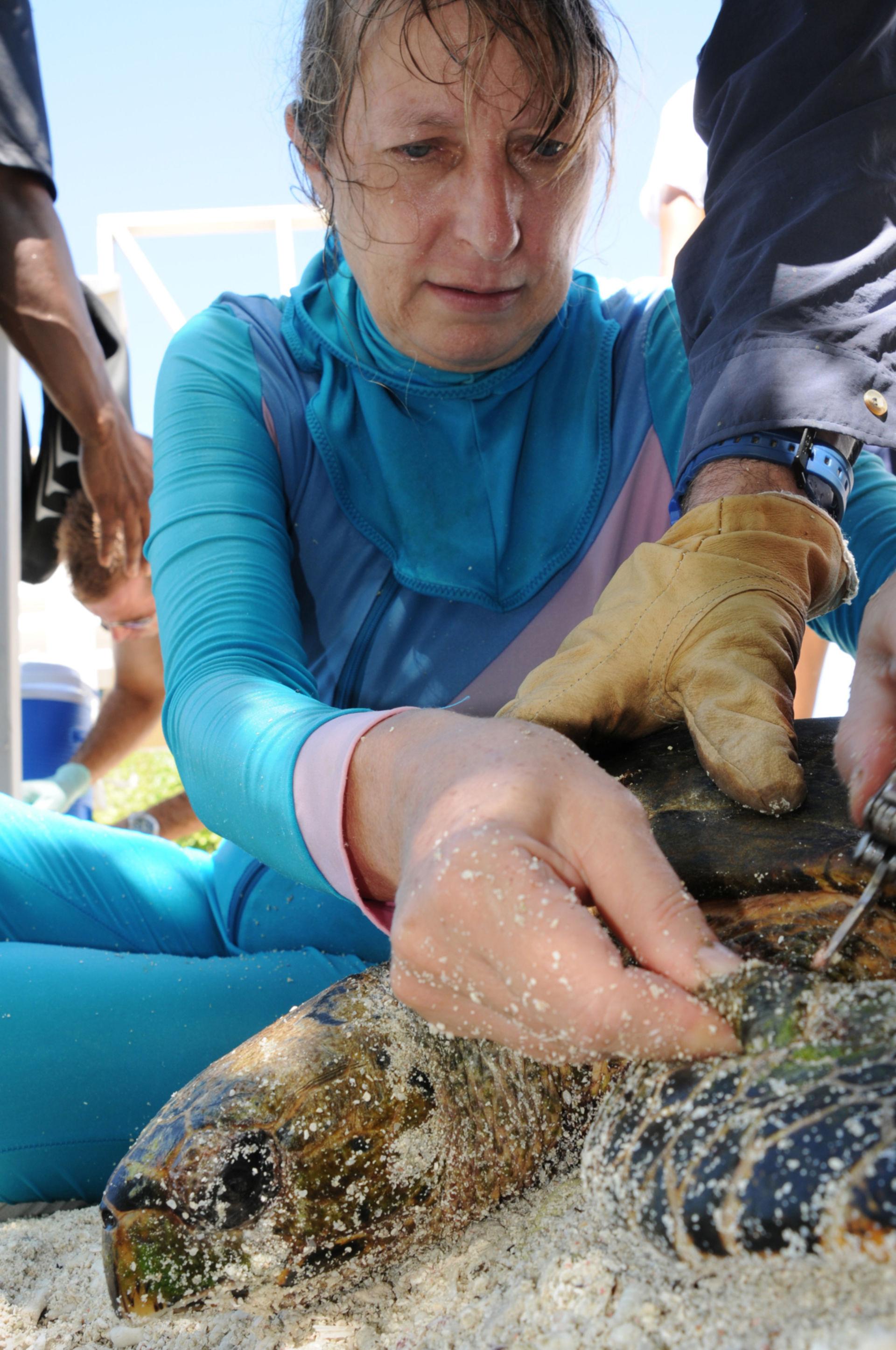 Entfernung eines Suchsenders bei einer Seeschildkröte