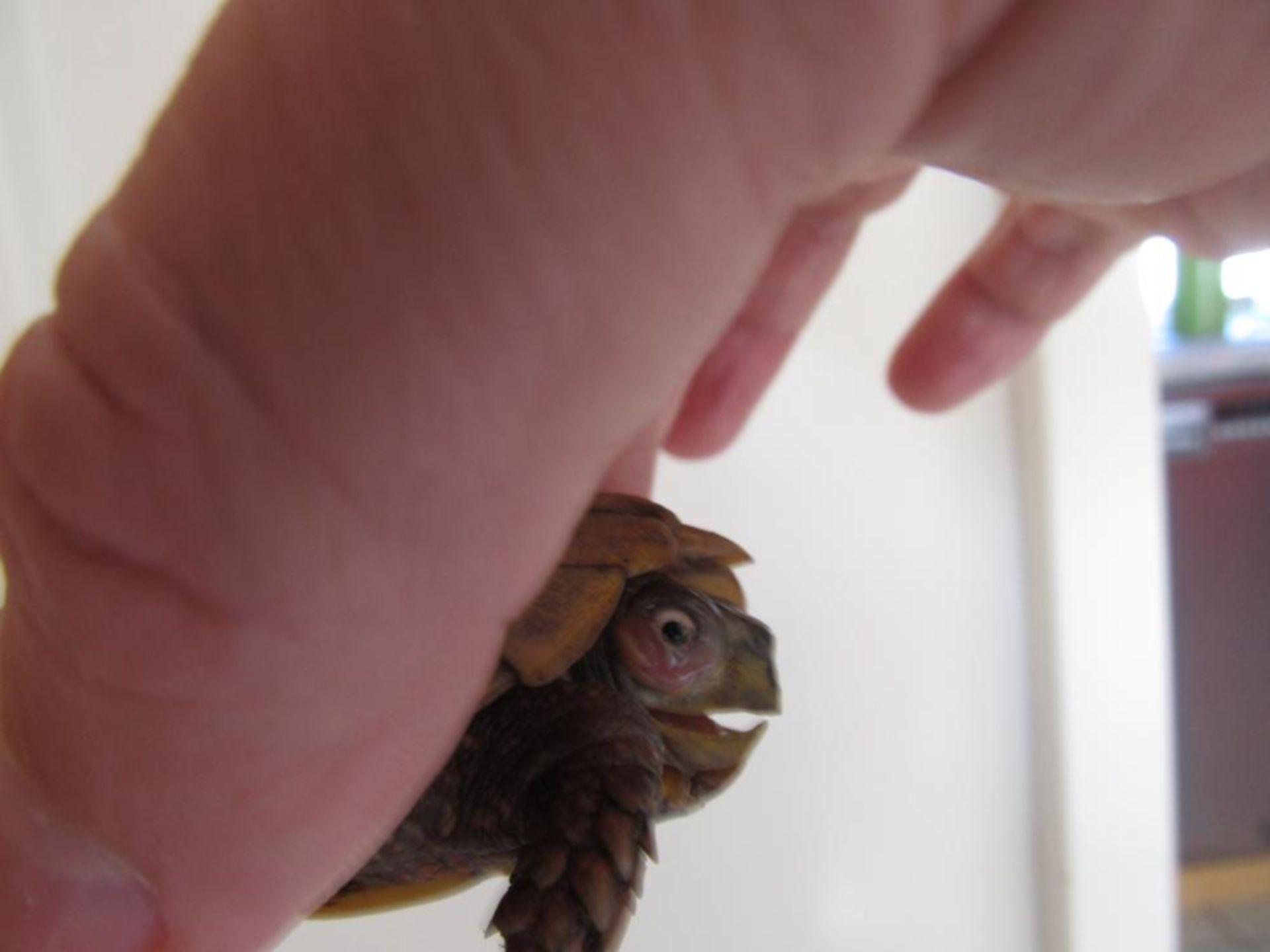 Kojunktivalsackentzündung Schildkröte (2)