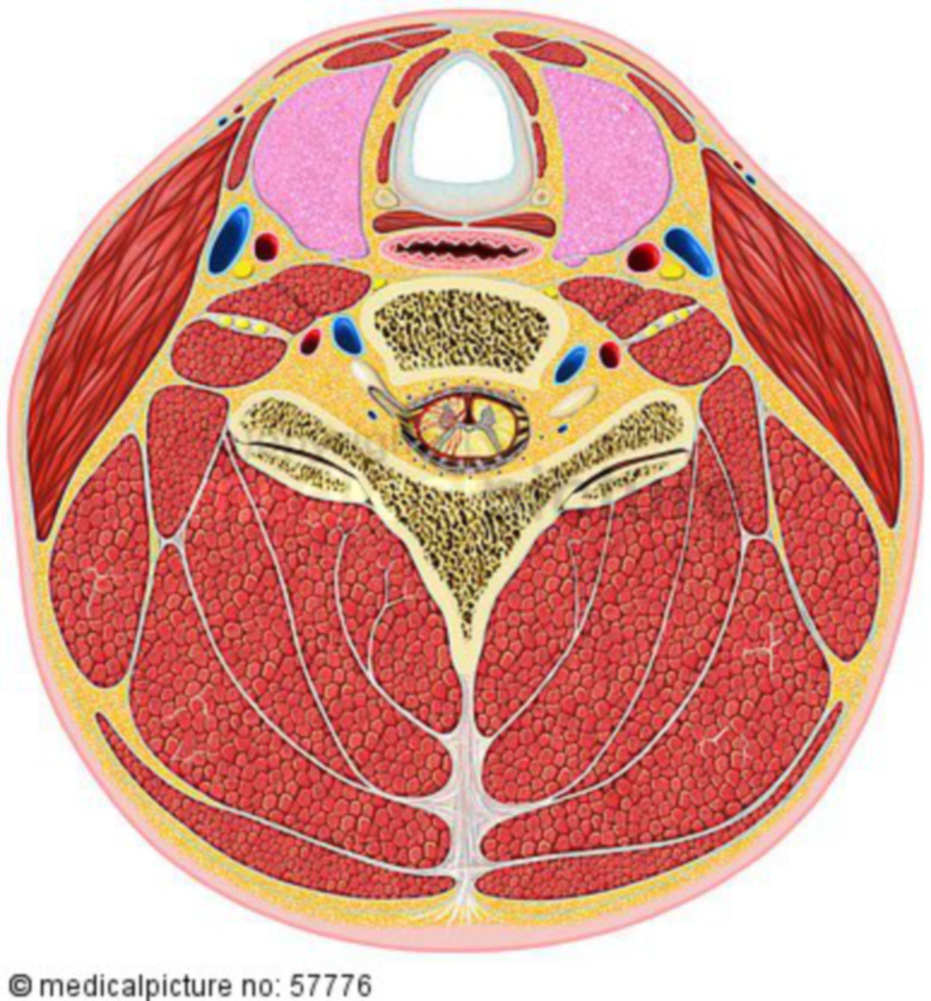 Illustrazione anatomica - sezione attraverso il collo