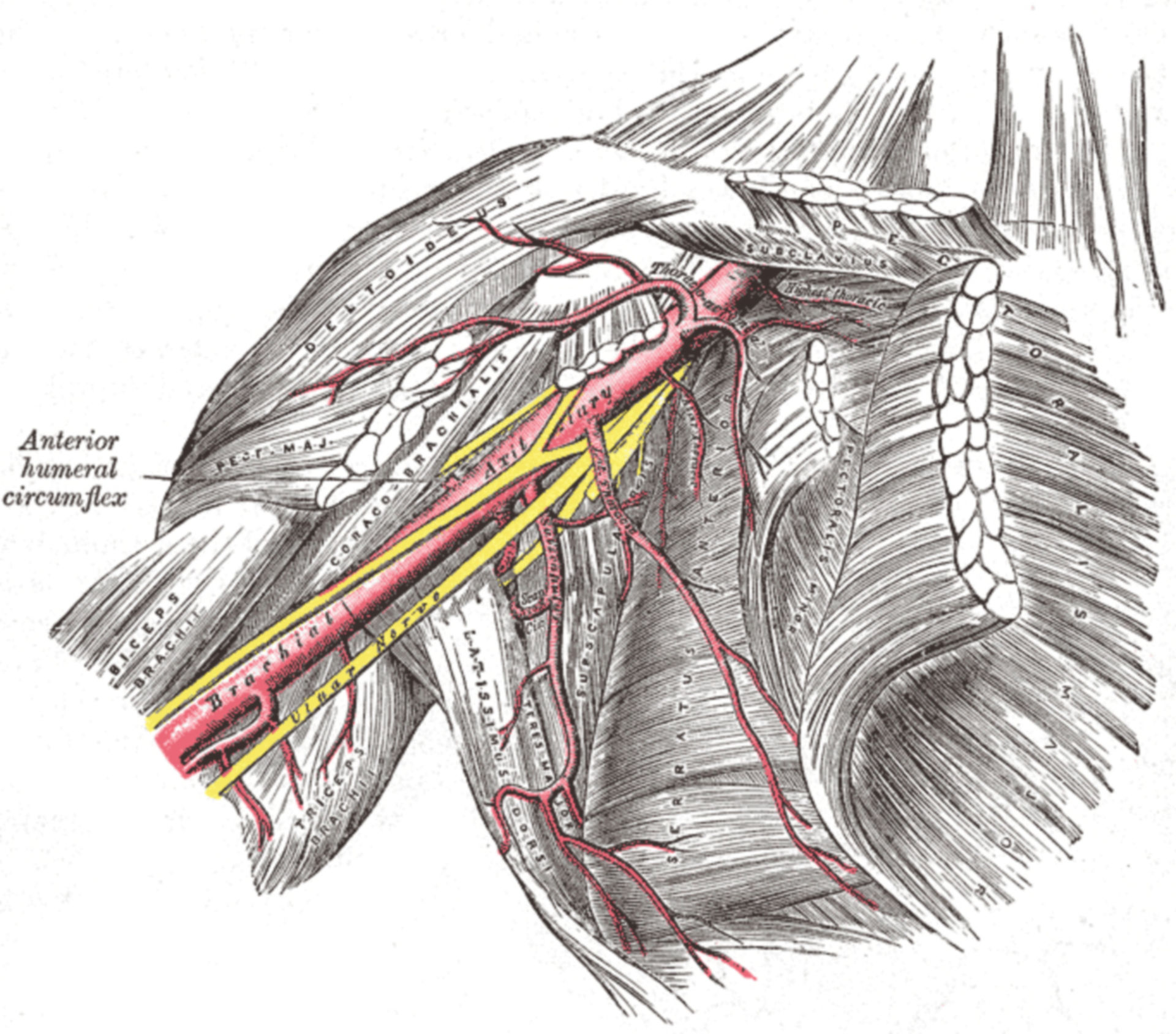 The axillary artery and its braches