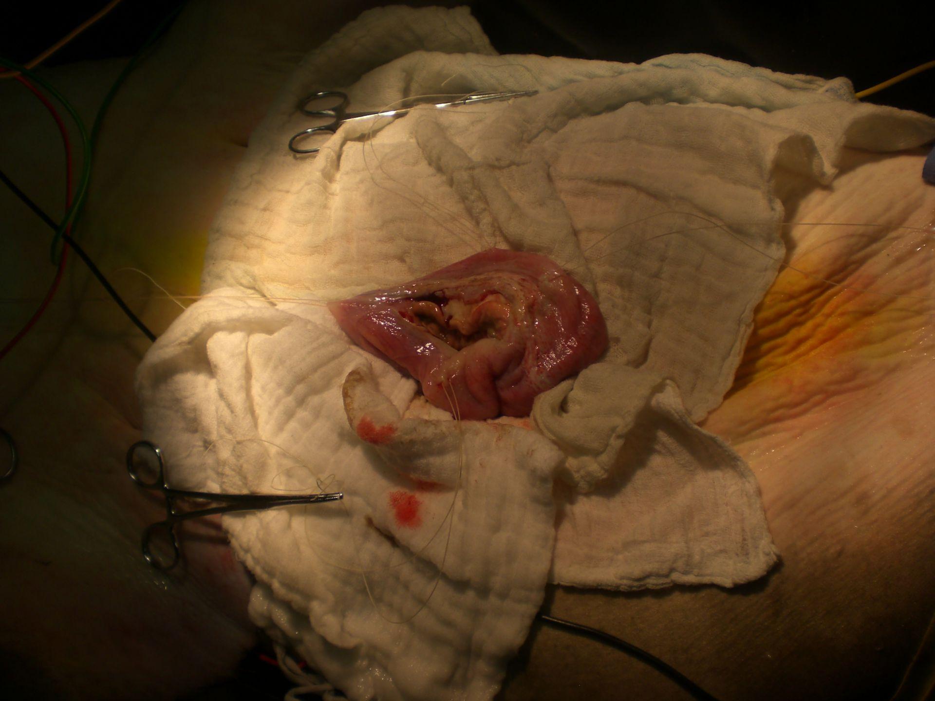 Surgery on a sand tiger shark (8)