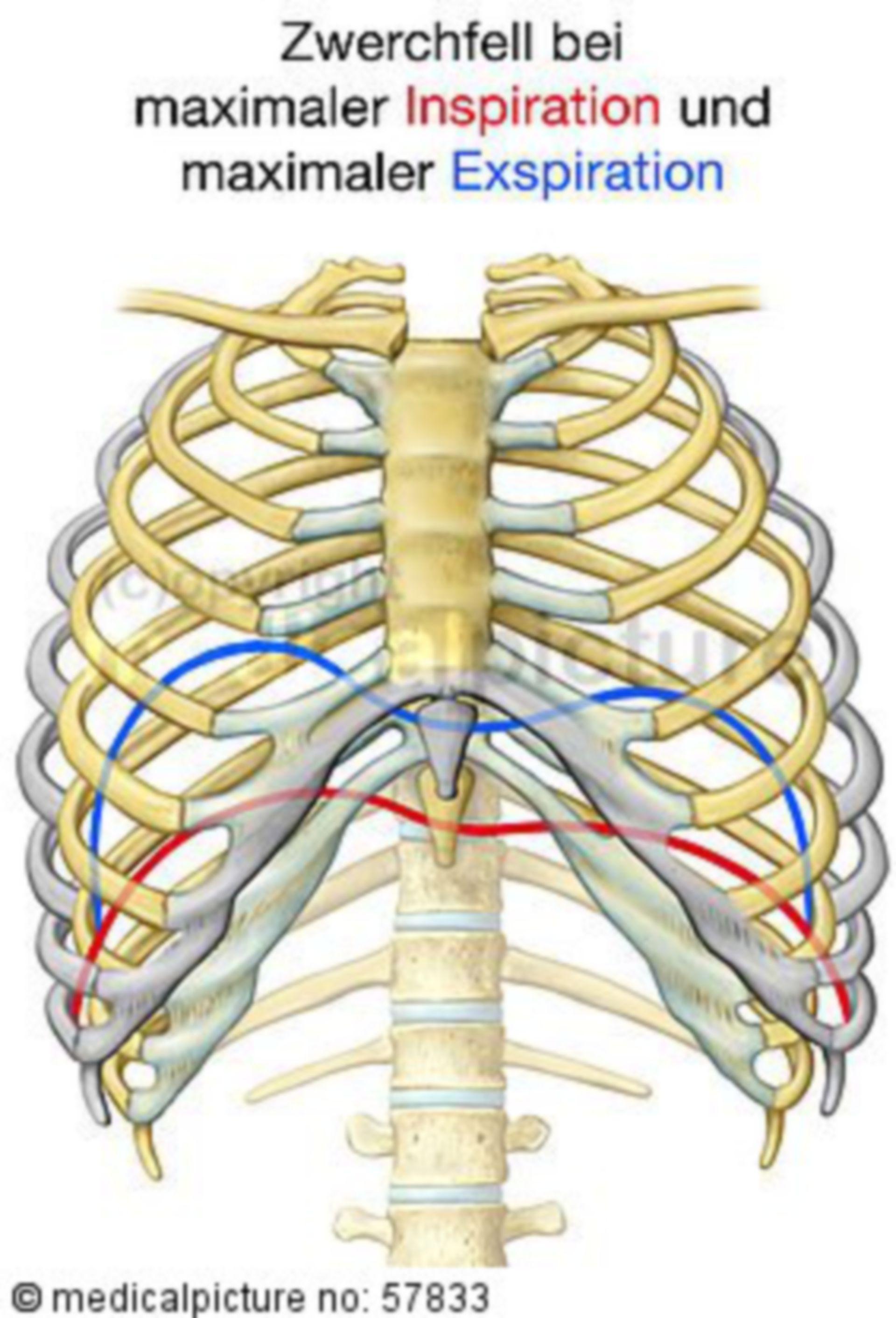 Anatomische Illustrationen - Atmung (Bewegung des Zwerchfells)