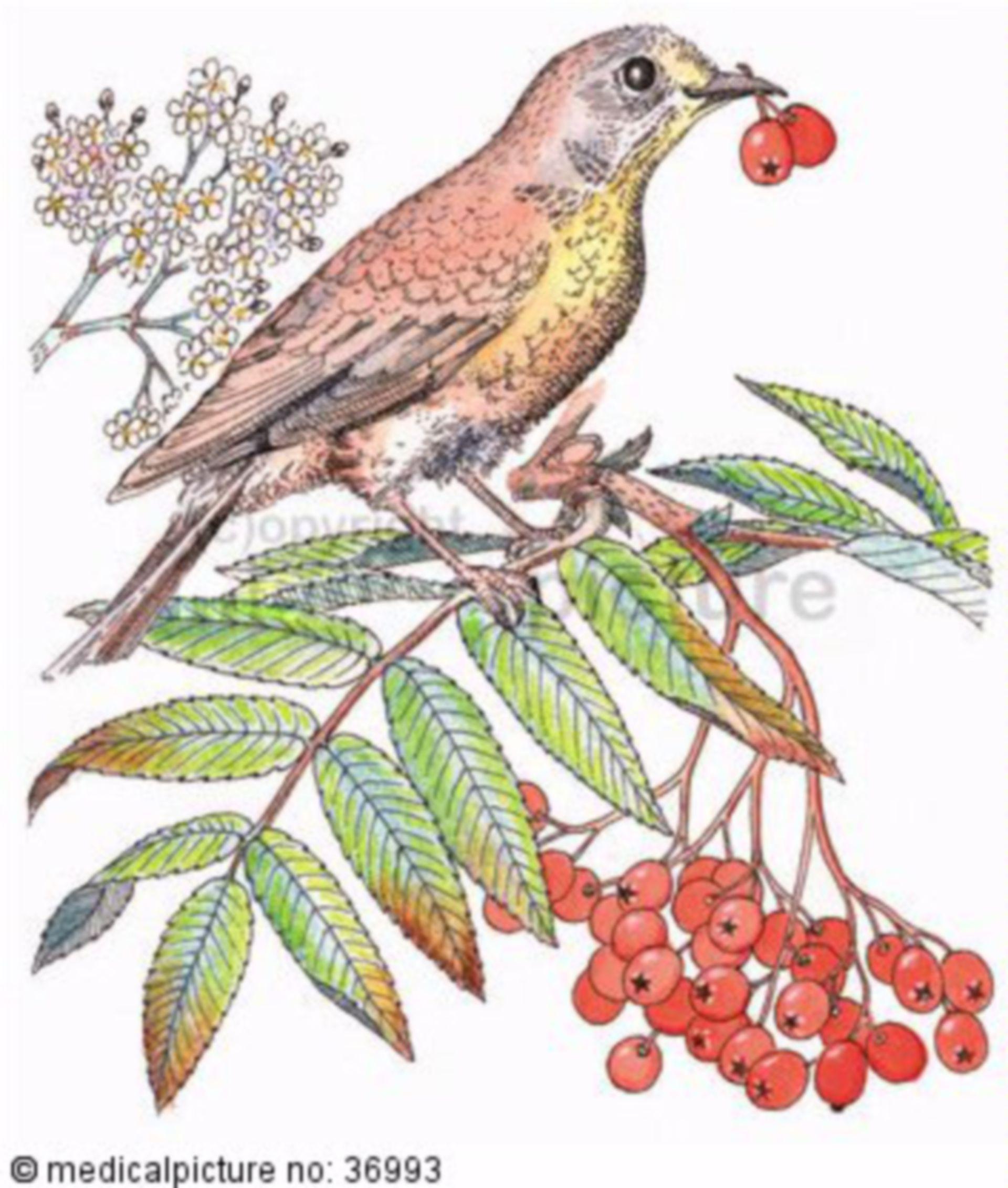 Vogel, Amsel auf Eberesche