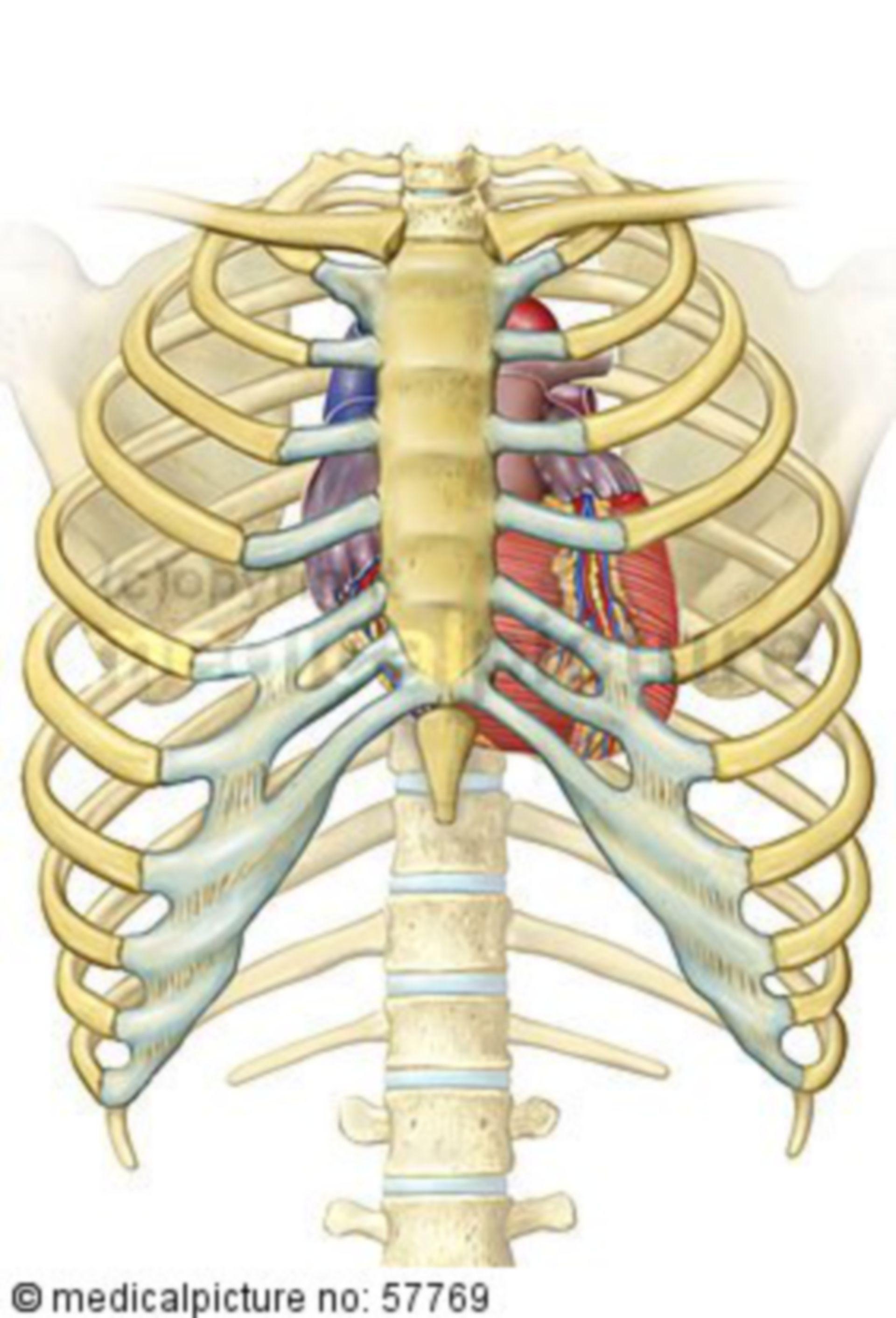 Illustrazione anatomica - torace