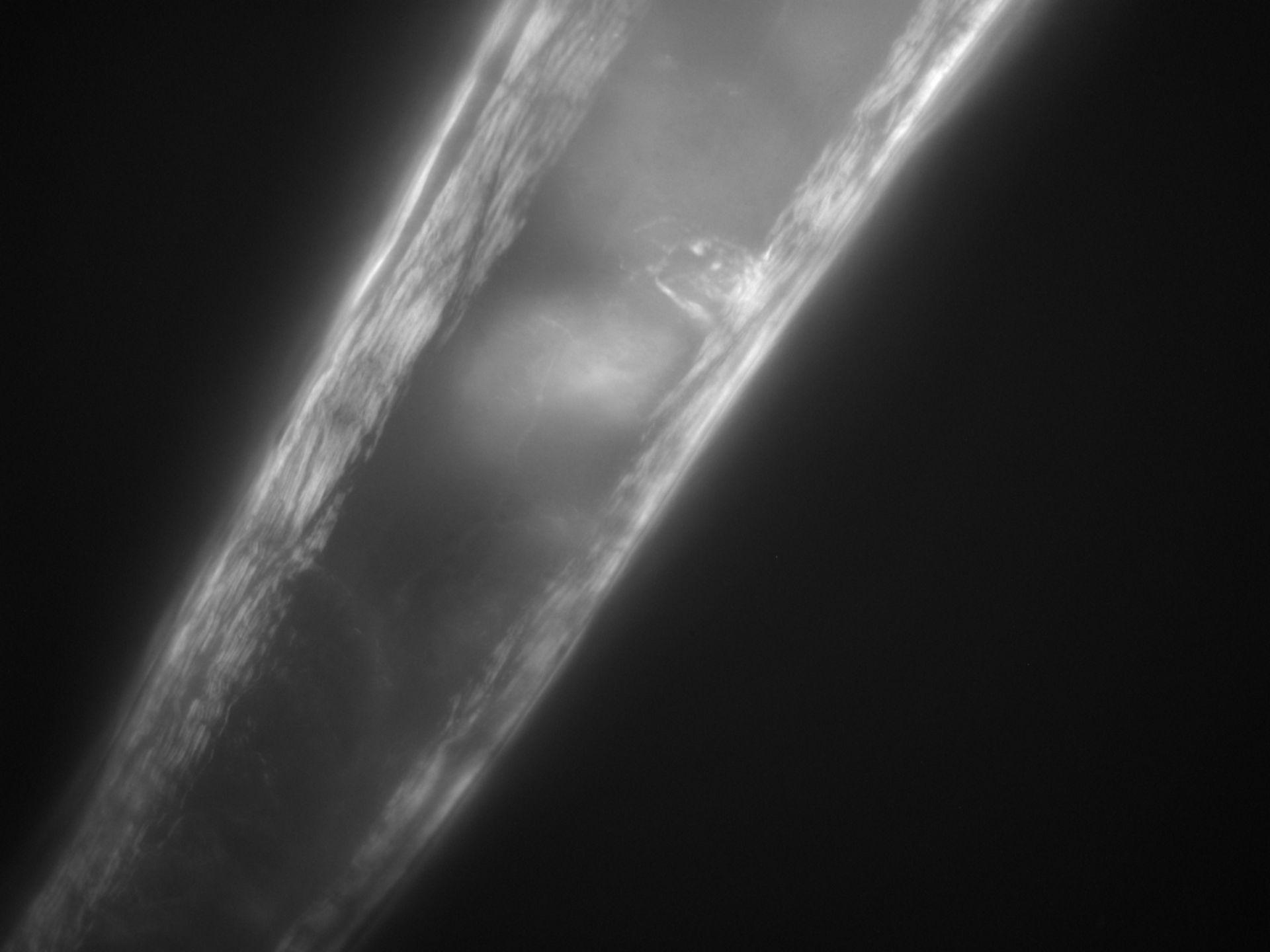 Caenorhabditis elegans (Actin filament) - CIL:1306
