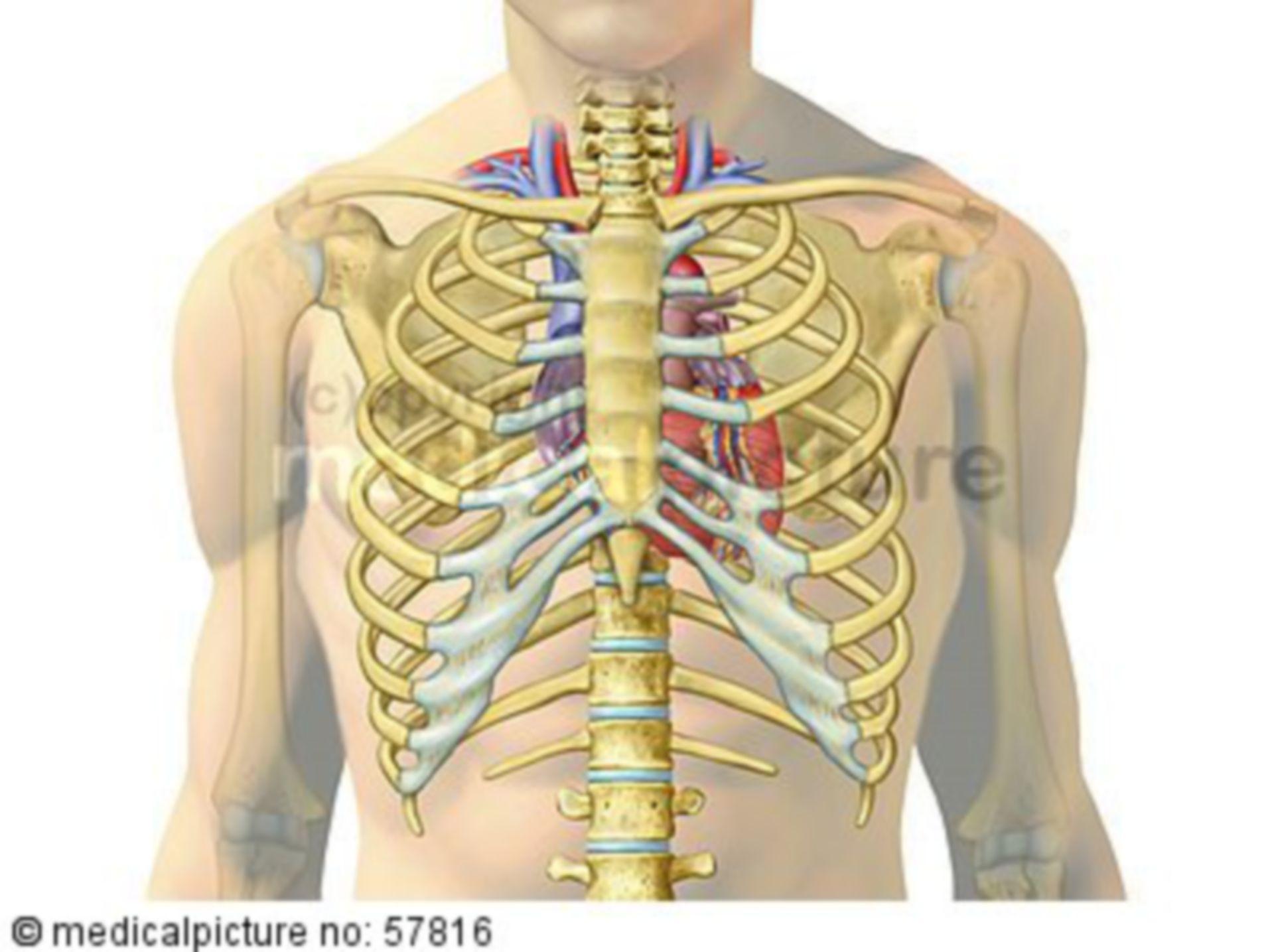 Anatomische Illustrationen - Herz mit Gefäßen in Brustkorb
