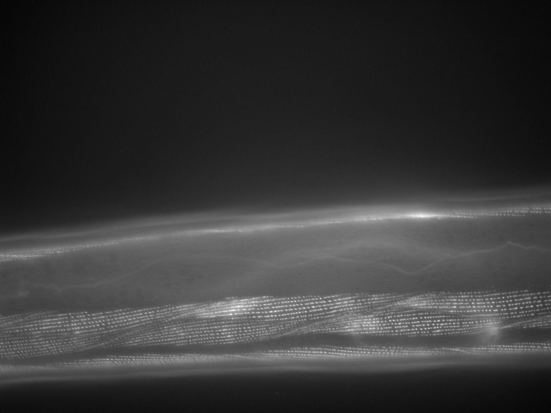 Caenorhabditis elegans (Actin filament) - CIL:1008