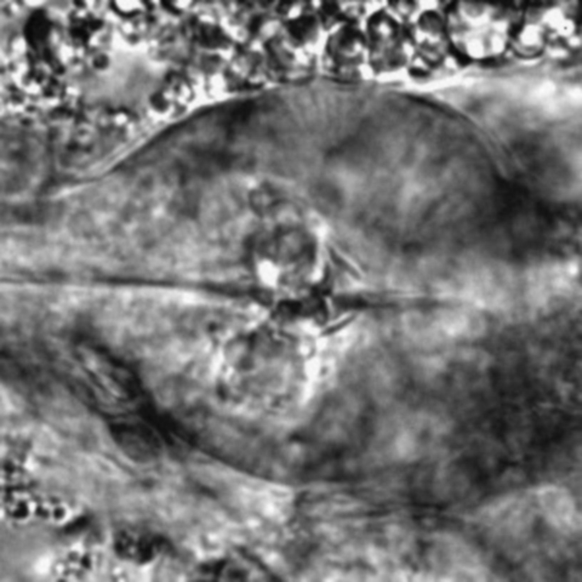 Caenorhabditis elegans - CIL:1935