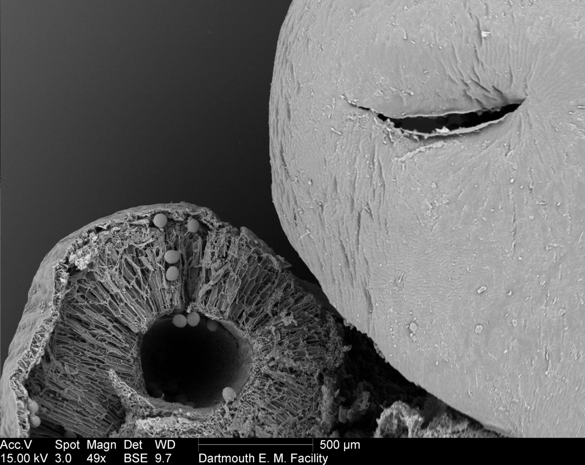Amorphophallus titanum (Anther) - CIL:39384