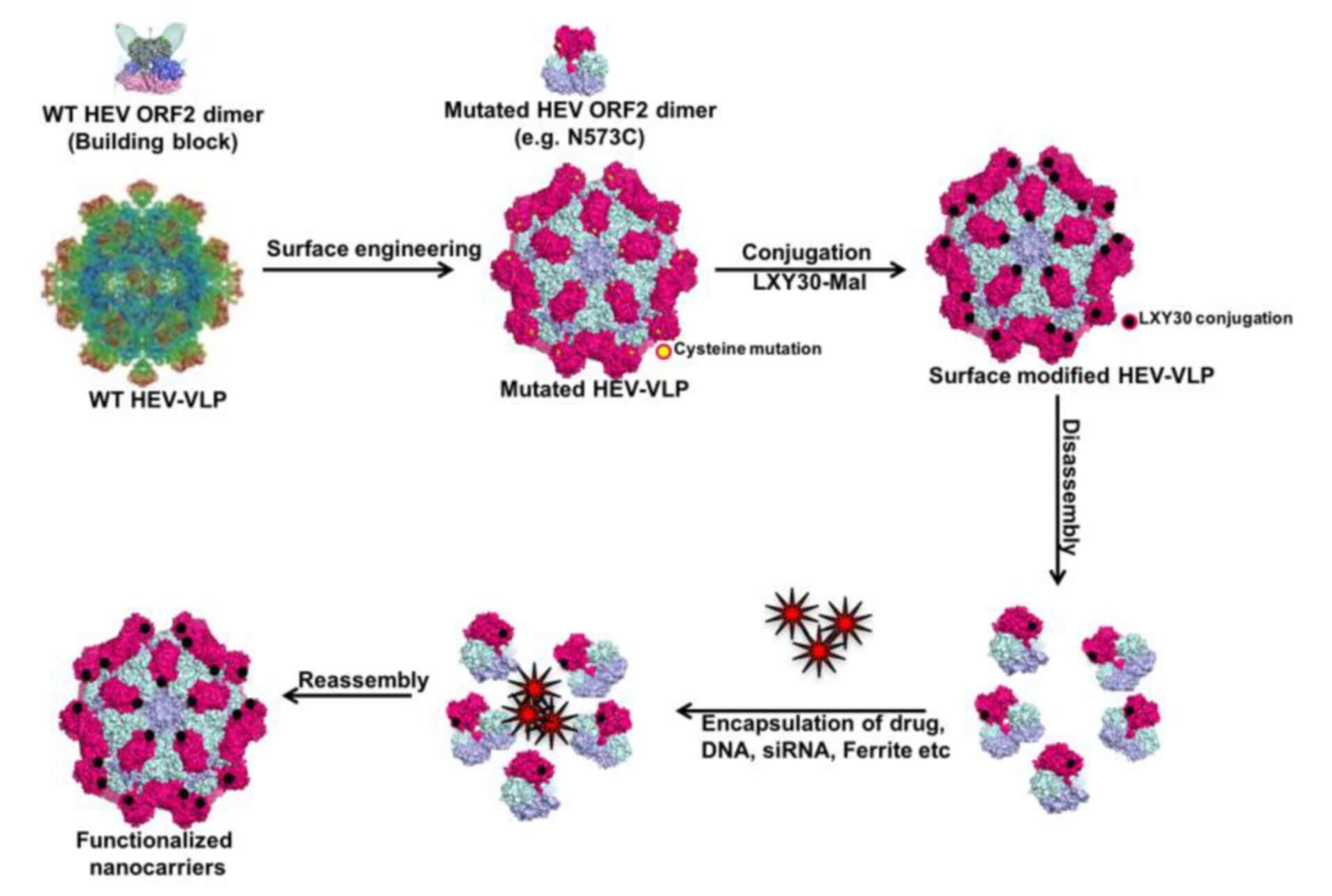 Virus-like Particle Delivery System