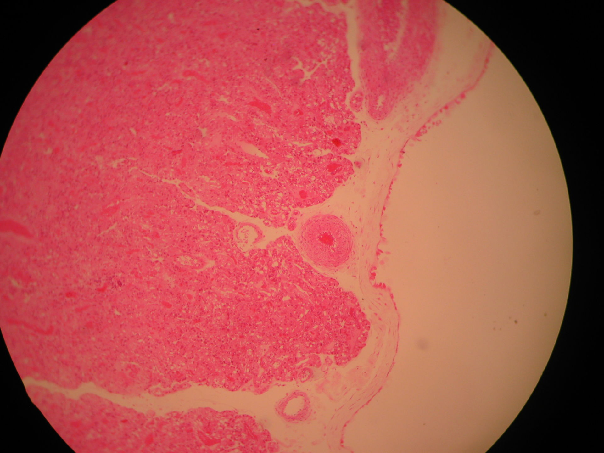 Veterinary medicine: Cross-section Placenta of a dog (12) - Chorion Plate
